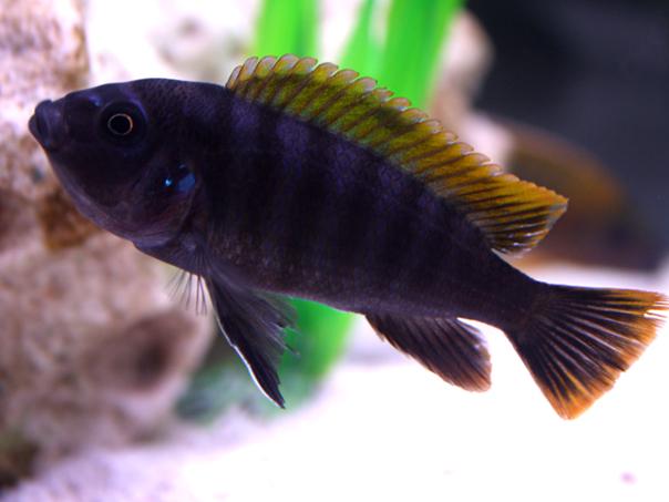 Afra Cichlid  : cichlids.com: Female Afra????