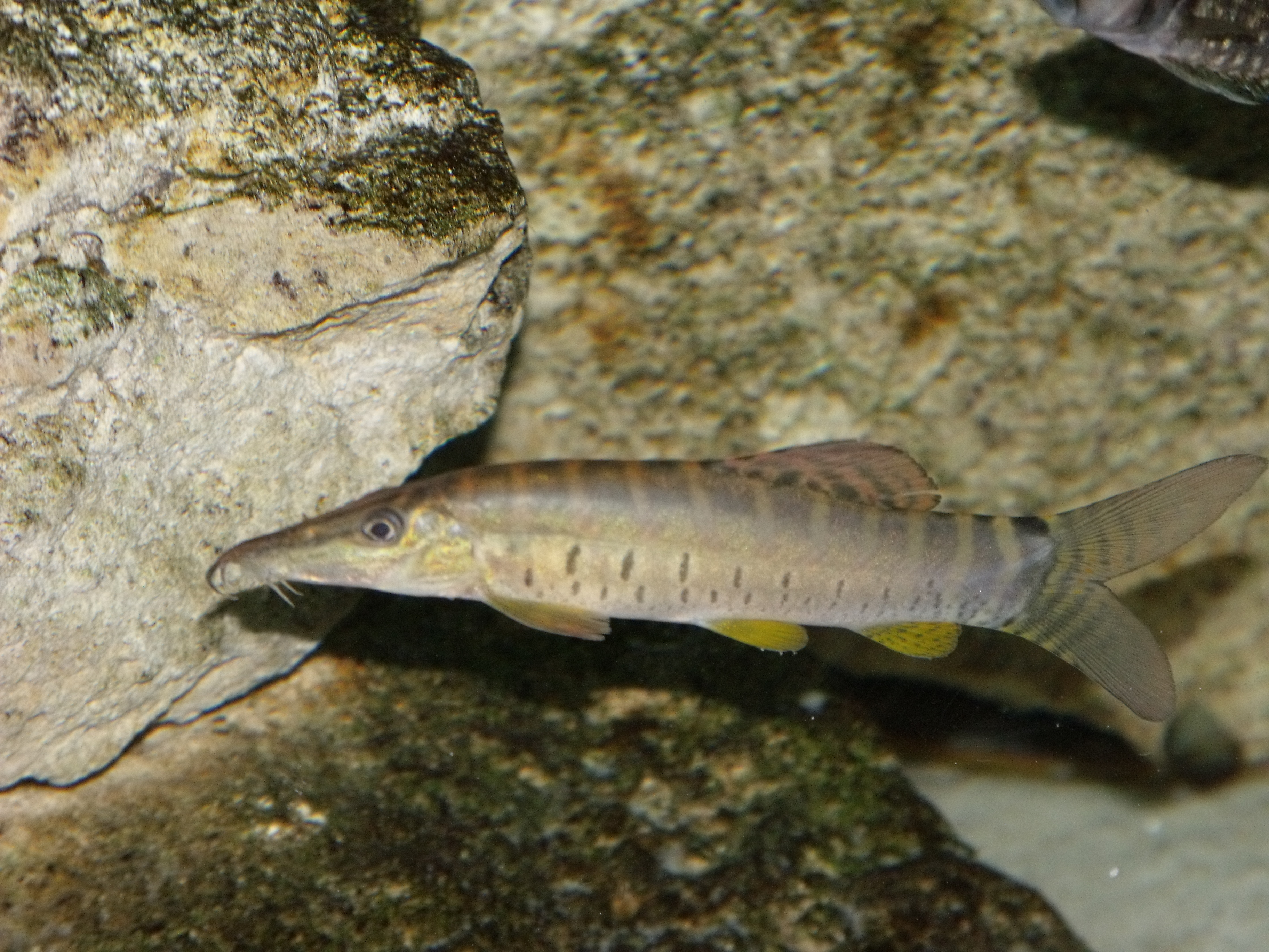 cichlids.com: Tiger Botia