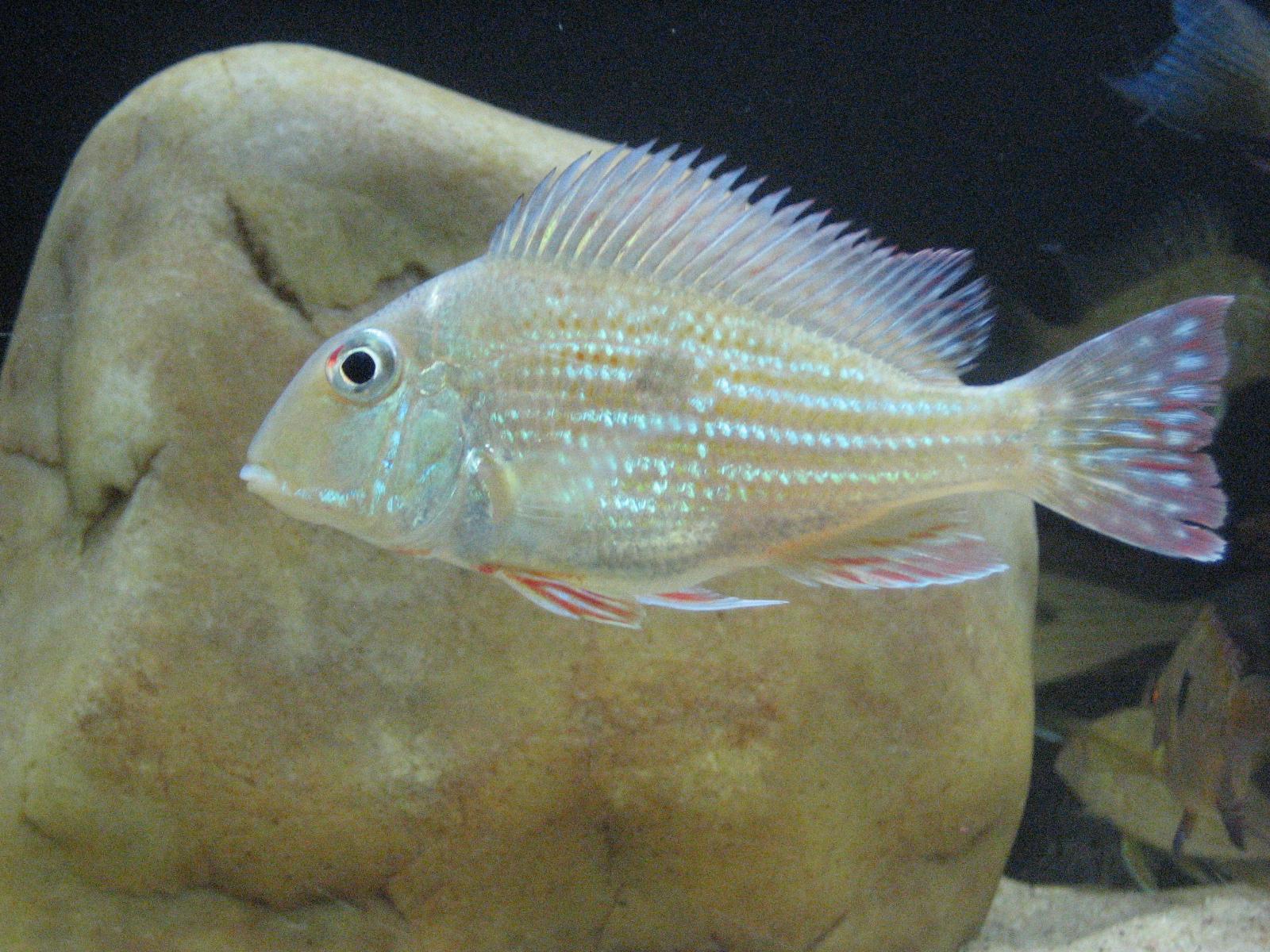 cichlids.com: Geophagus dicrozoster