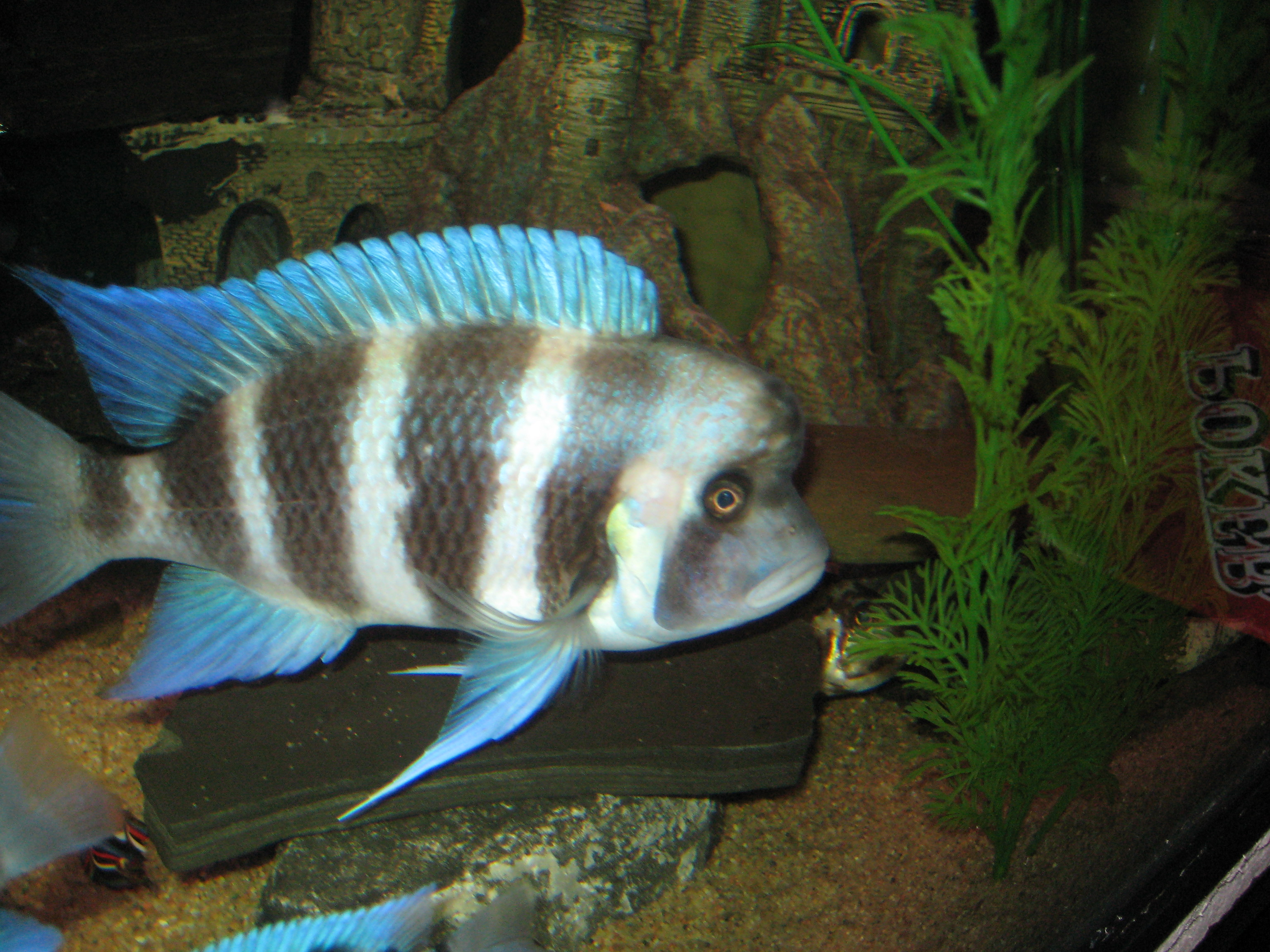 Baby Frontosa Cichlid cichlids.com: Male Fro...