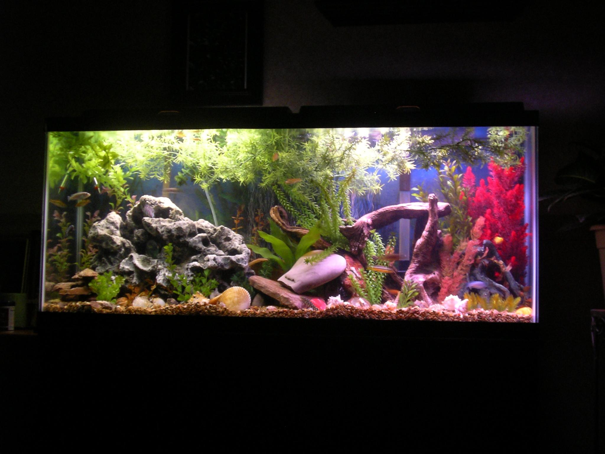 My 55 gallon malawi cichlid tank for Cichlid fish tank