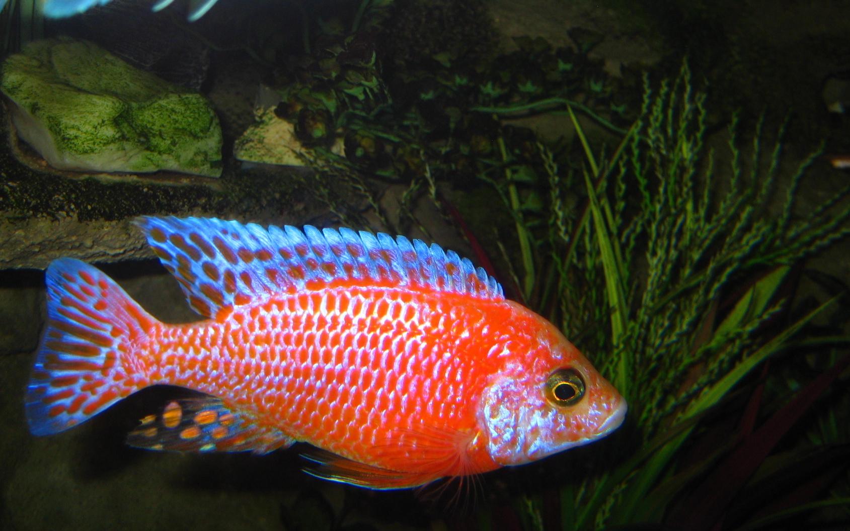 cichlids.com: Sunburst Peacock