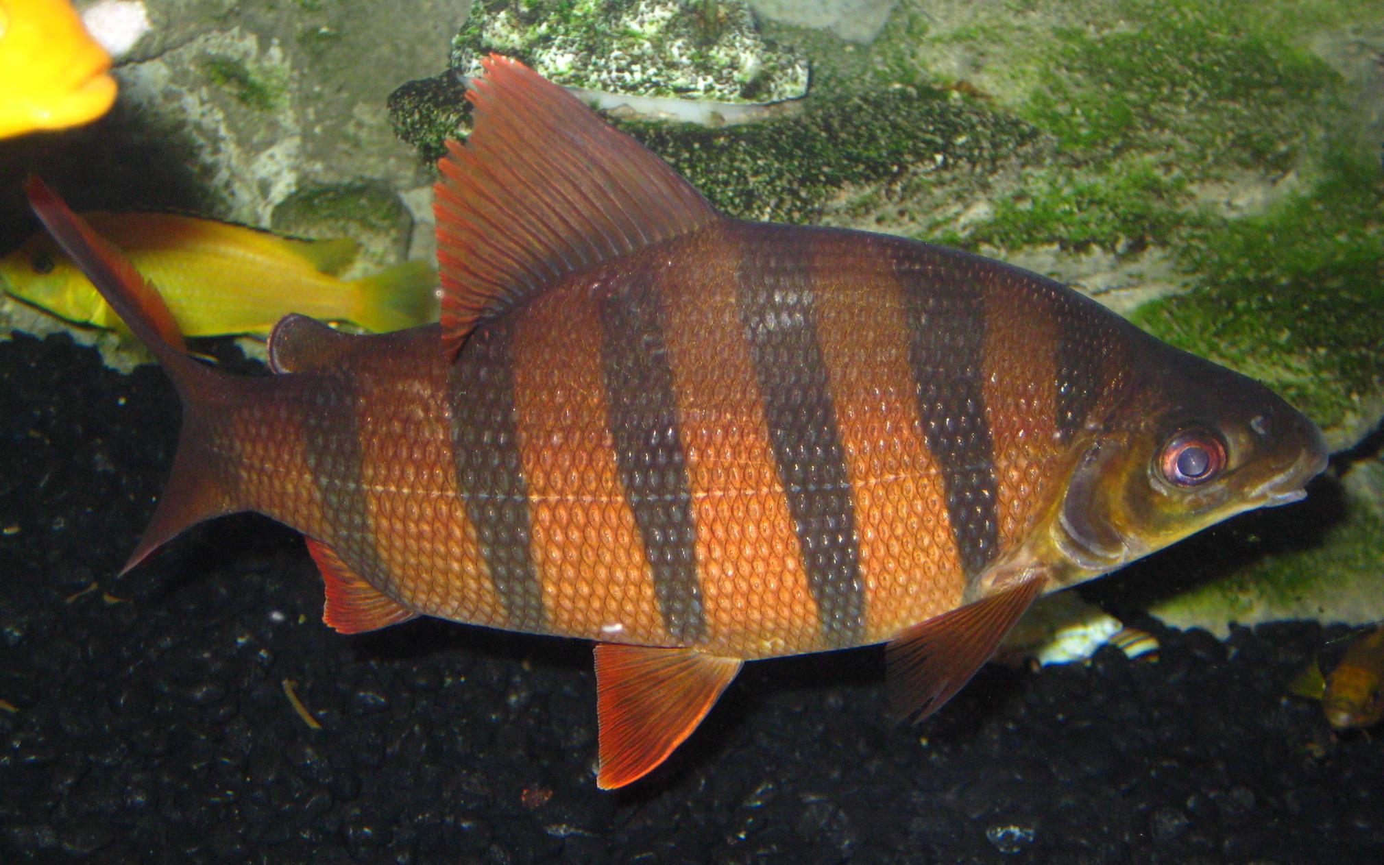 cichlids.com: distichodus Sexfasciatus
