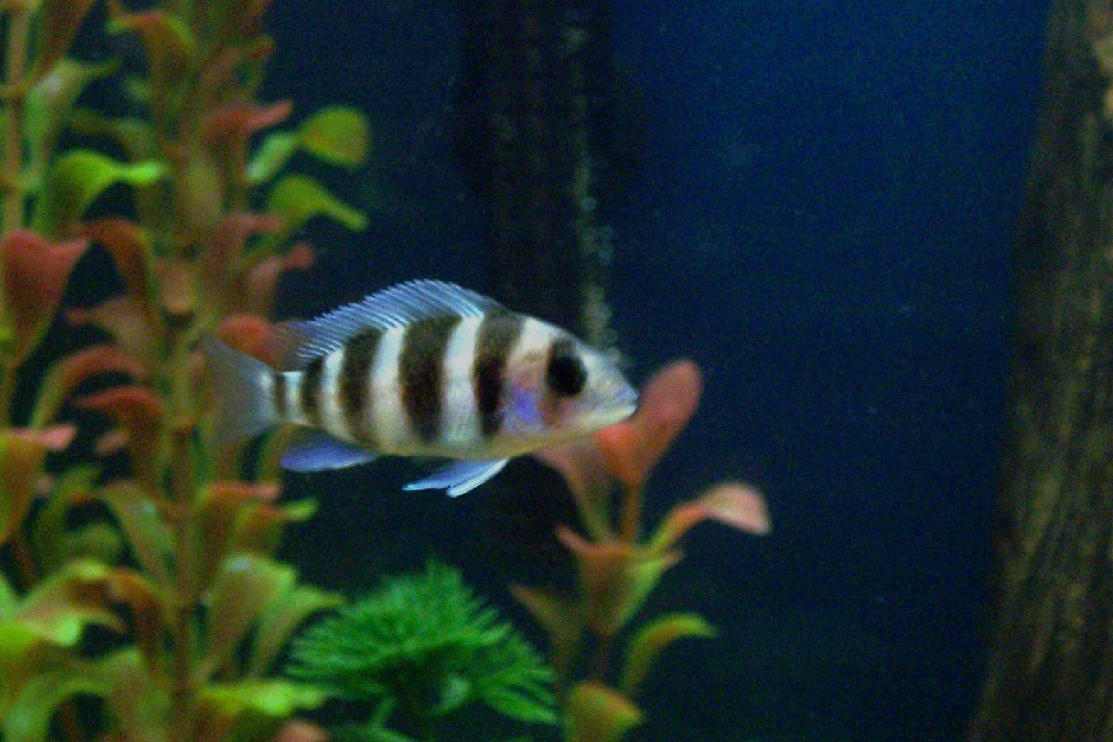 Baby Frontosa Cichlid cichlids.com: baby fro...