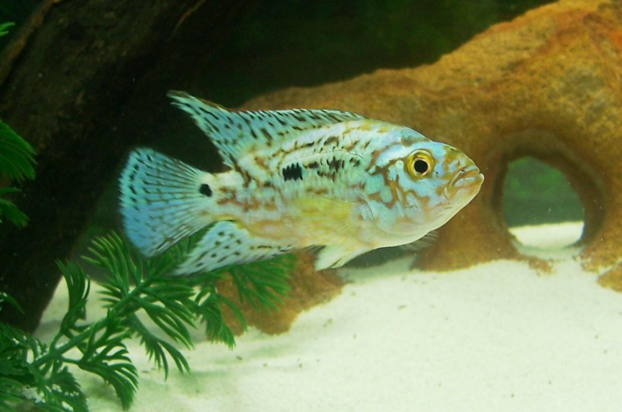 cichlids.com: electric blue jack dempsey