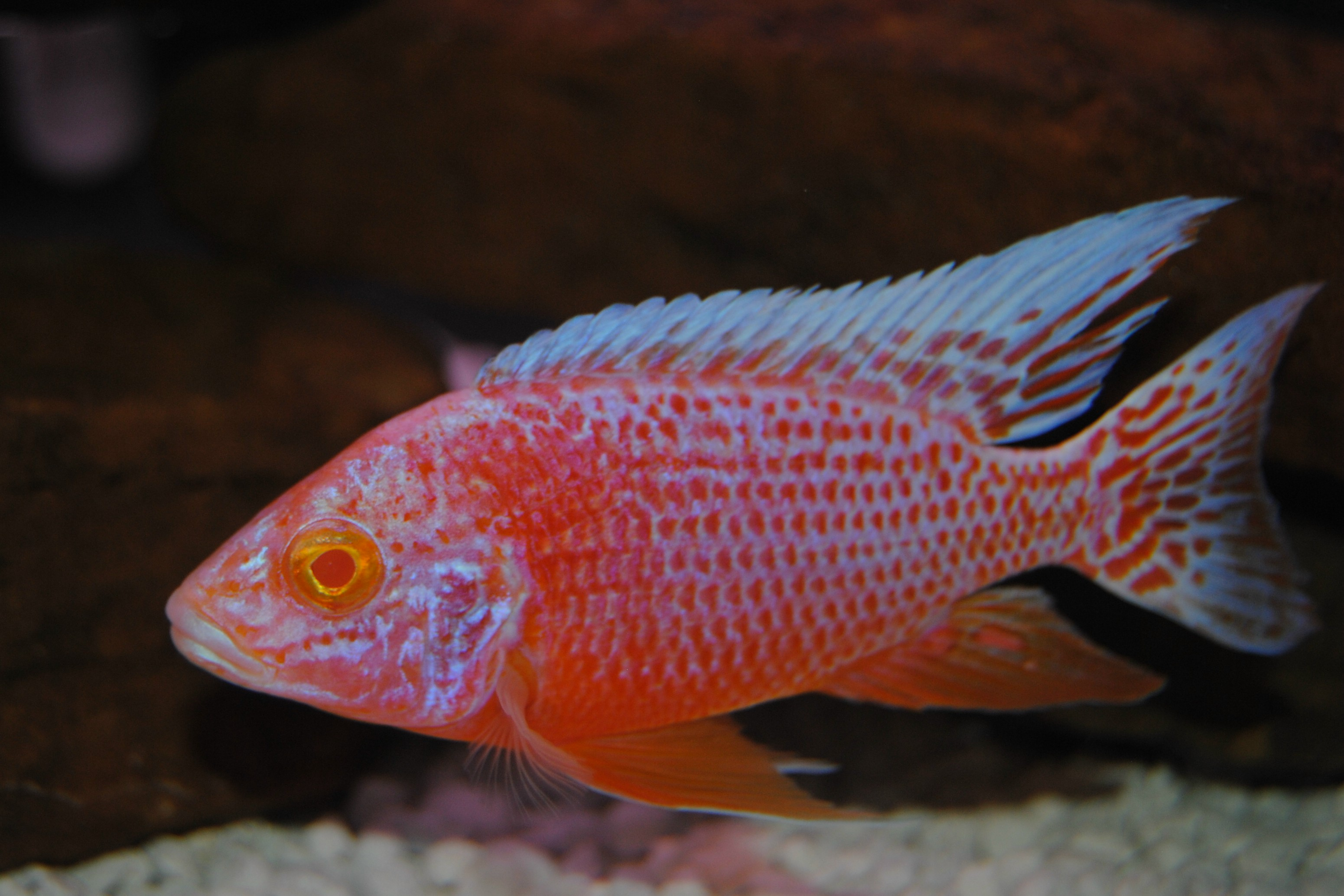 Dragon Blood Peacock Cichlid cichlids.com: A...
