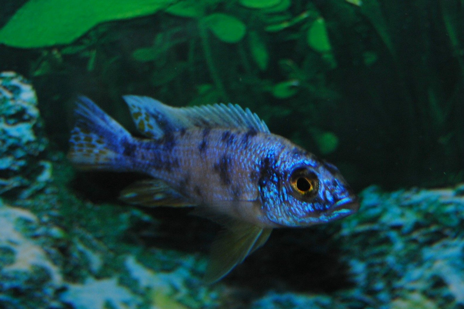 electric blue african cichlid - photo #10