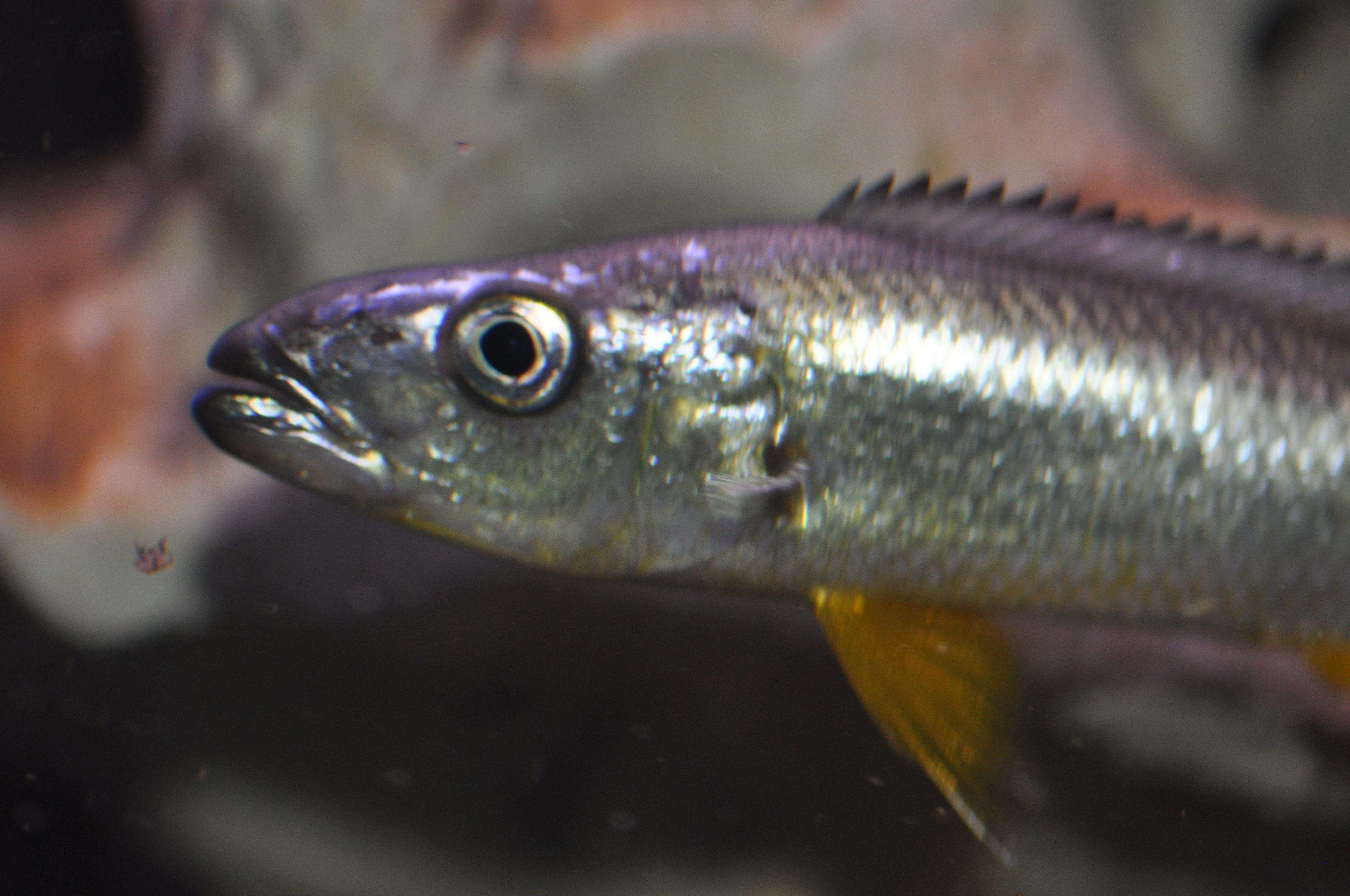 cichlids.com: Rhamphochromis macrophthalmus