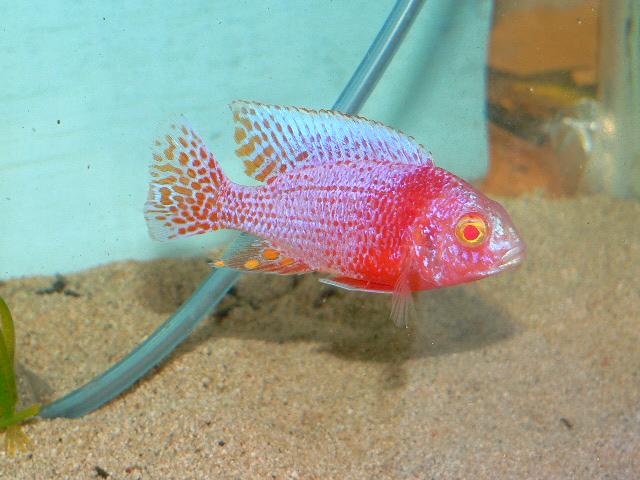 albino strawberry peacock cichlid