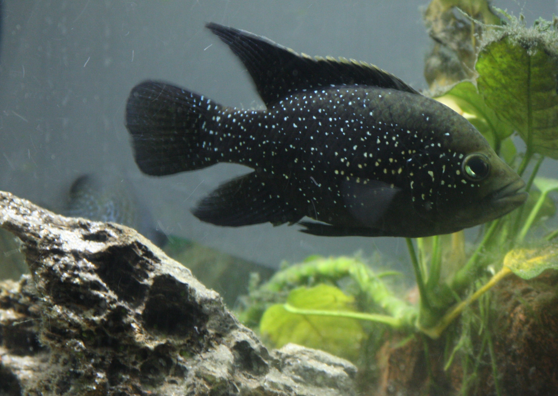 cichlids.com: Paratilapia Polleni Updated