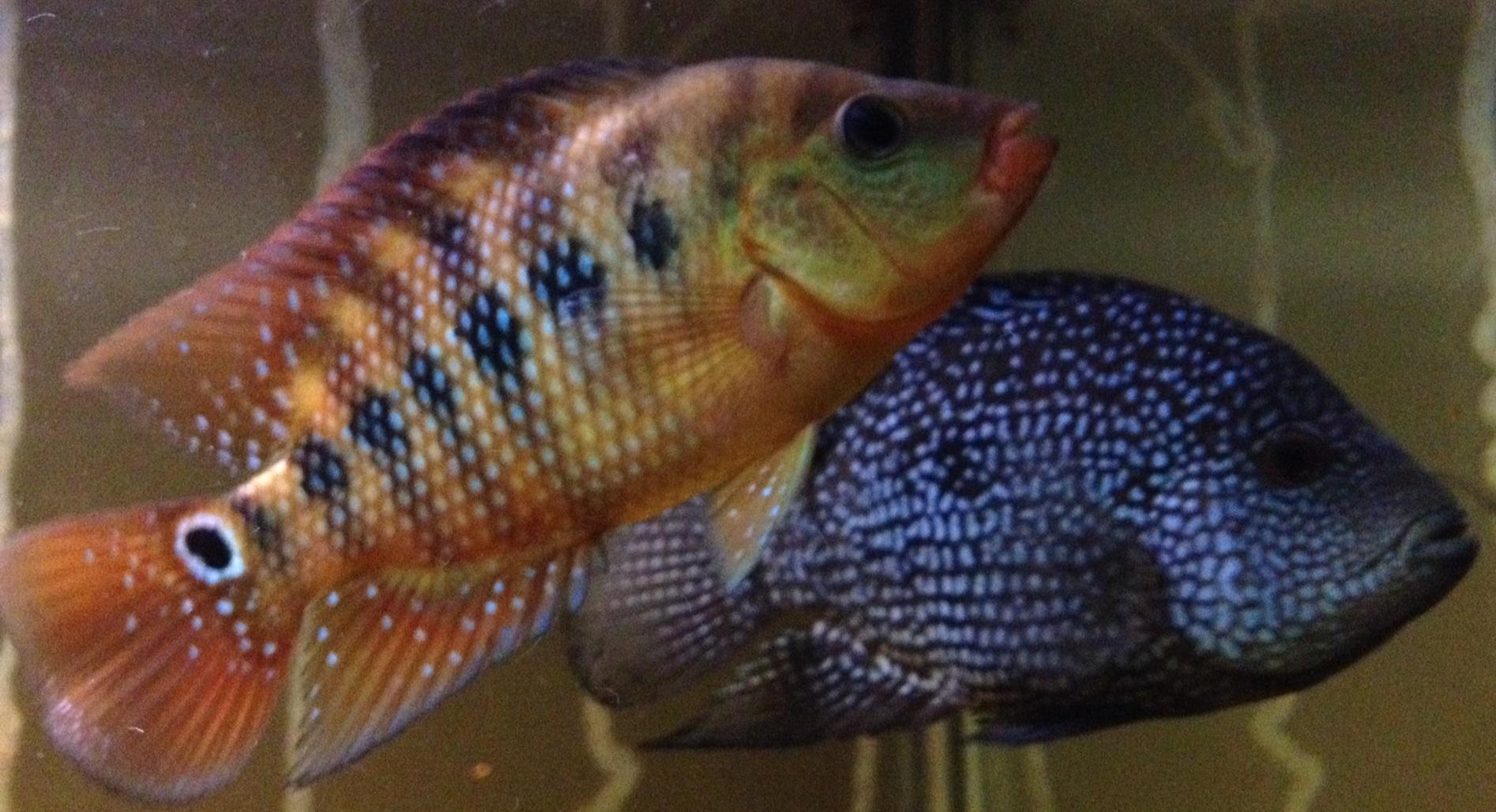 Red terror fish