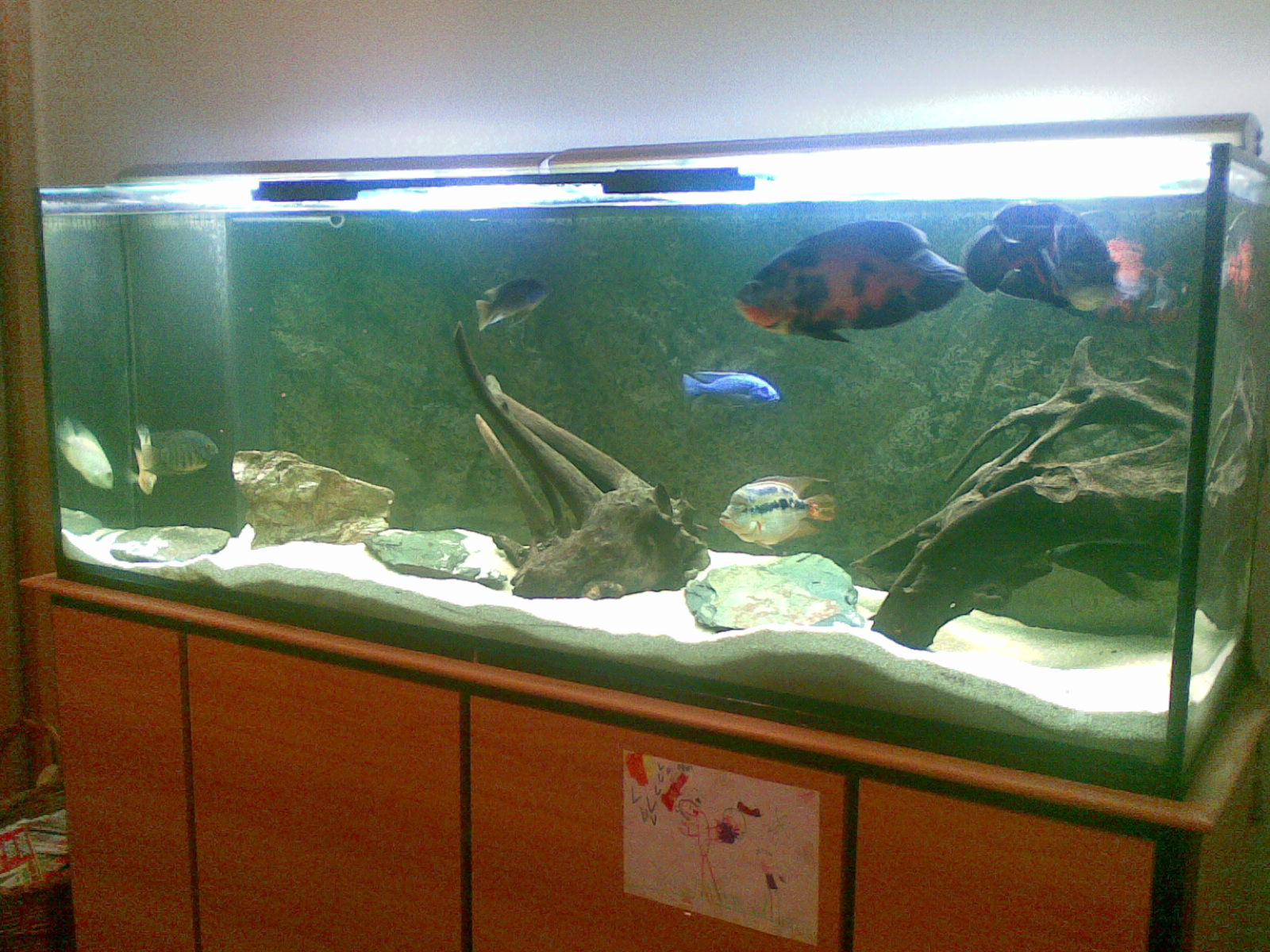3203403730 additionally Goldpaper2 2 20FD 20web together with More The Merrier Your  munity Aquarium in addition Fish Keepings Hall Of Shame also Peces Goldfish. on goldfish growth rate