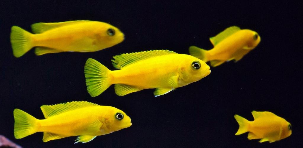 cichlids.com: saulosi female juvies