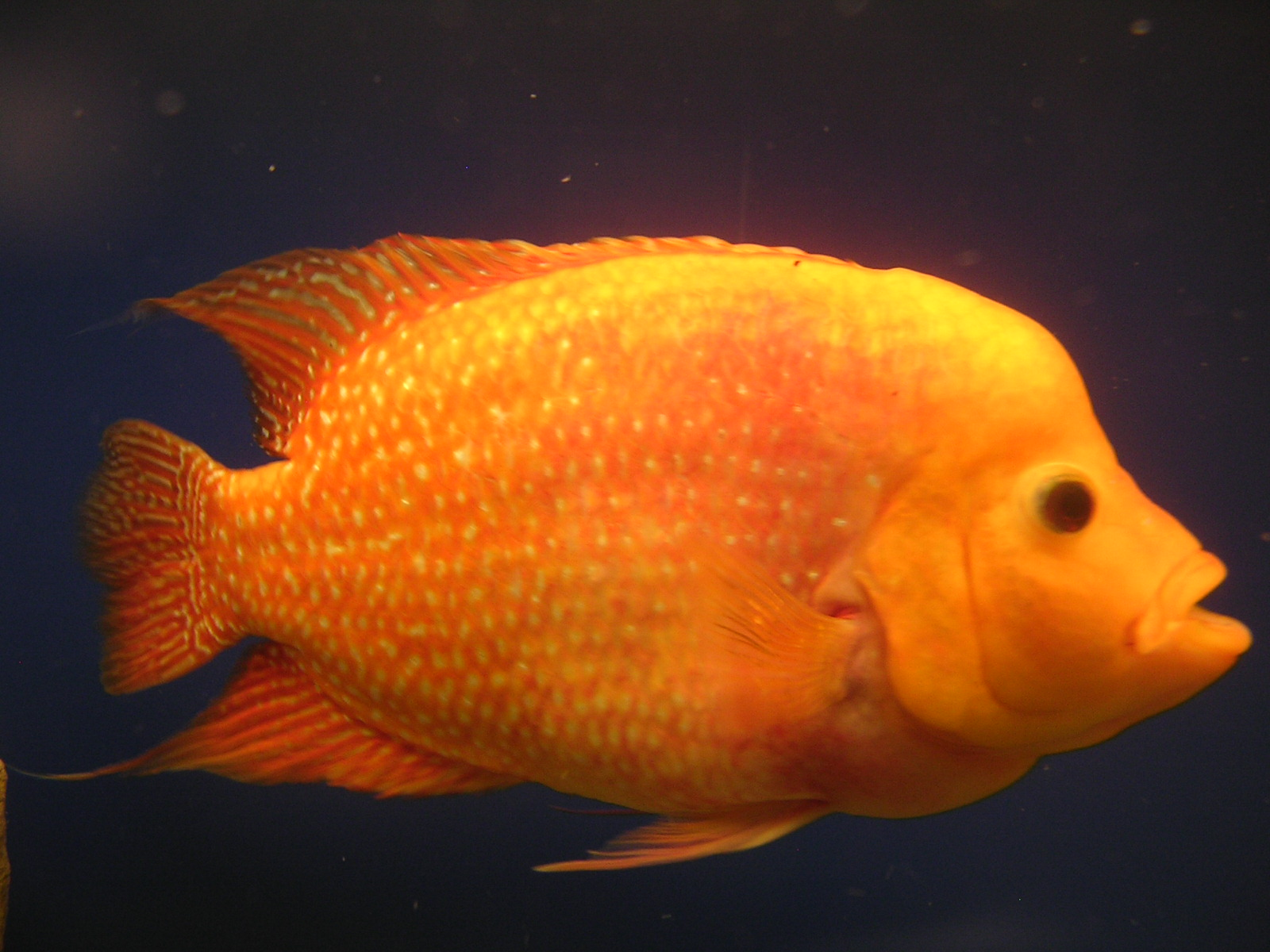 cichlids golden emperor flowerhorn