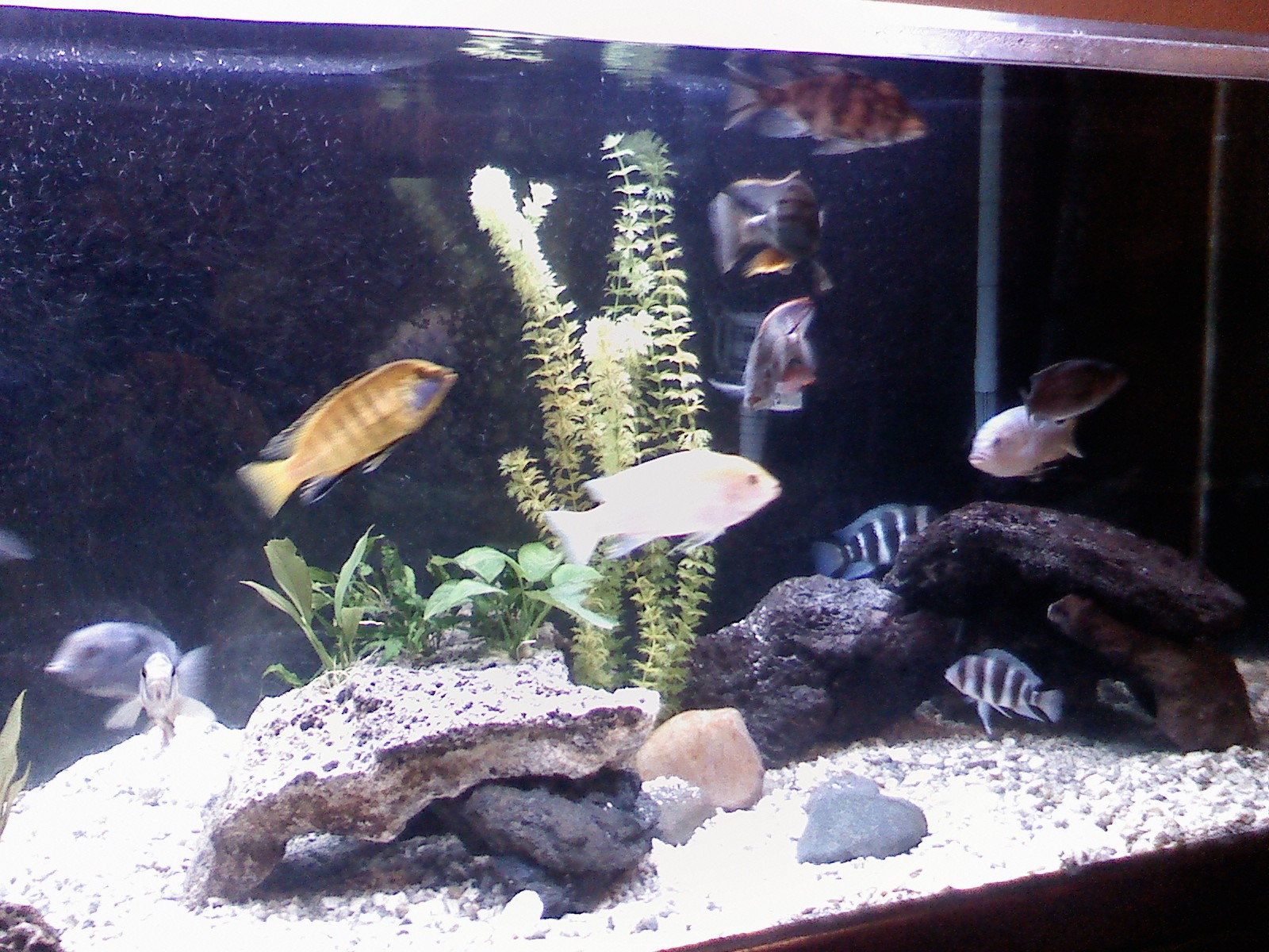 tank examples african cichlid tank