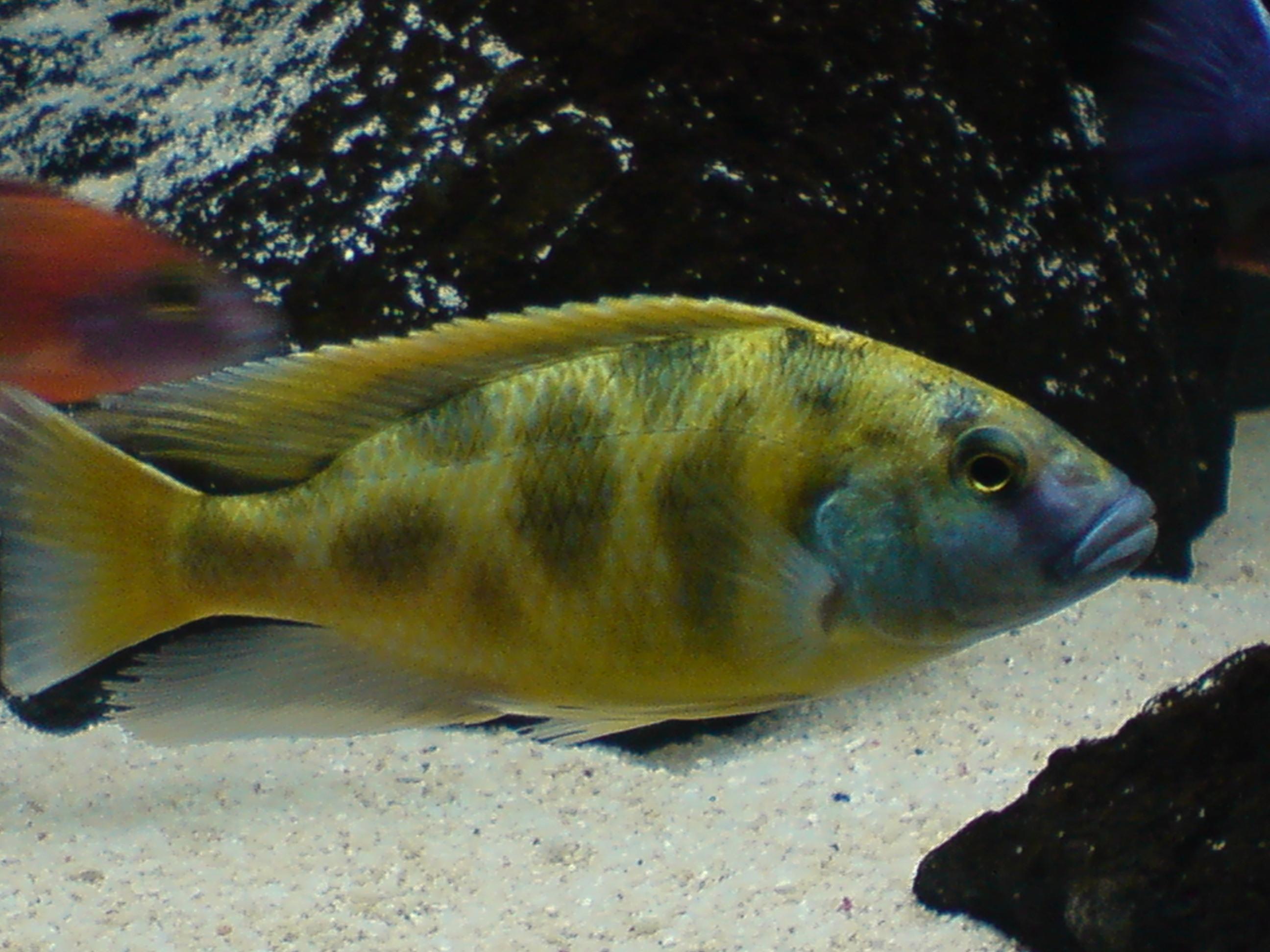 Venustus Hap : Venustus+Cichlid cichlids.com: Nimbochromis Venustus
