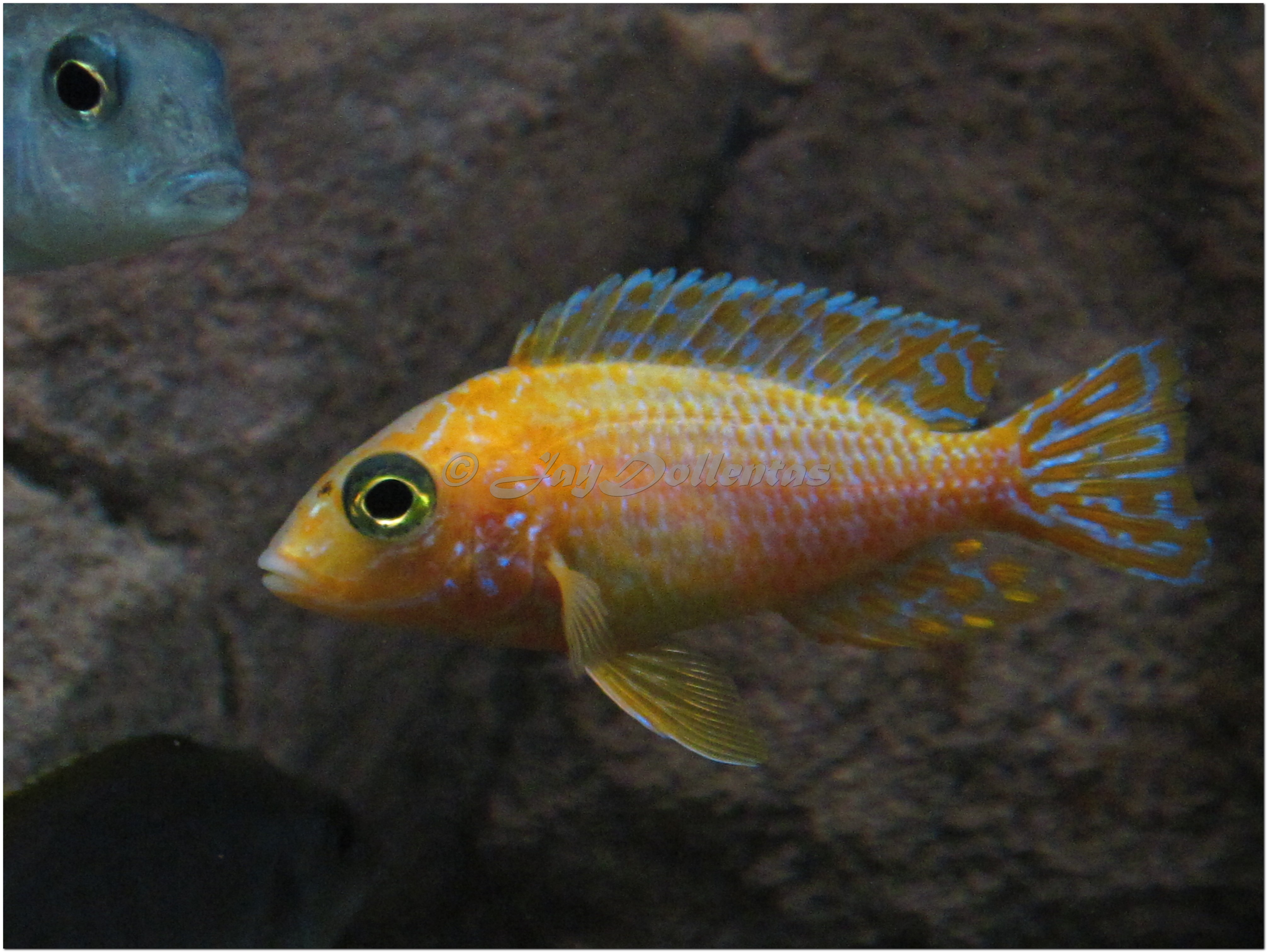 cichlids.com: new Strawberry peacock