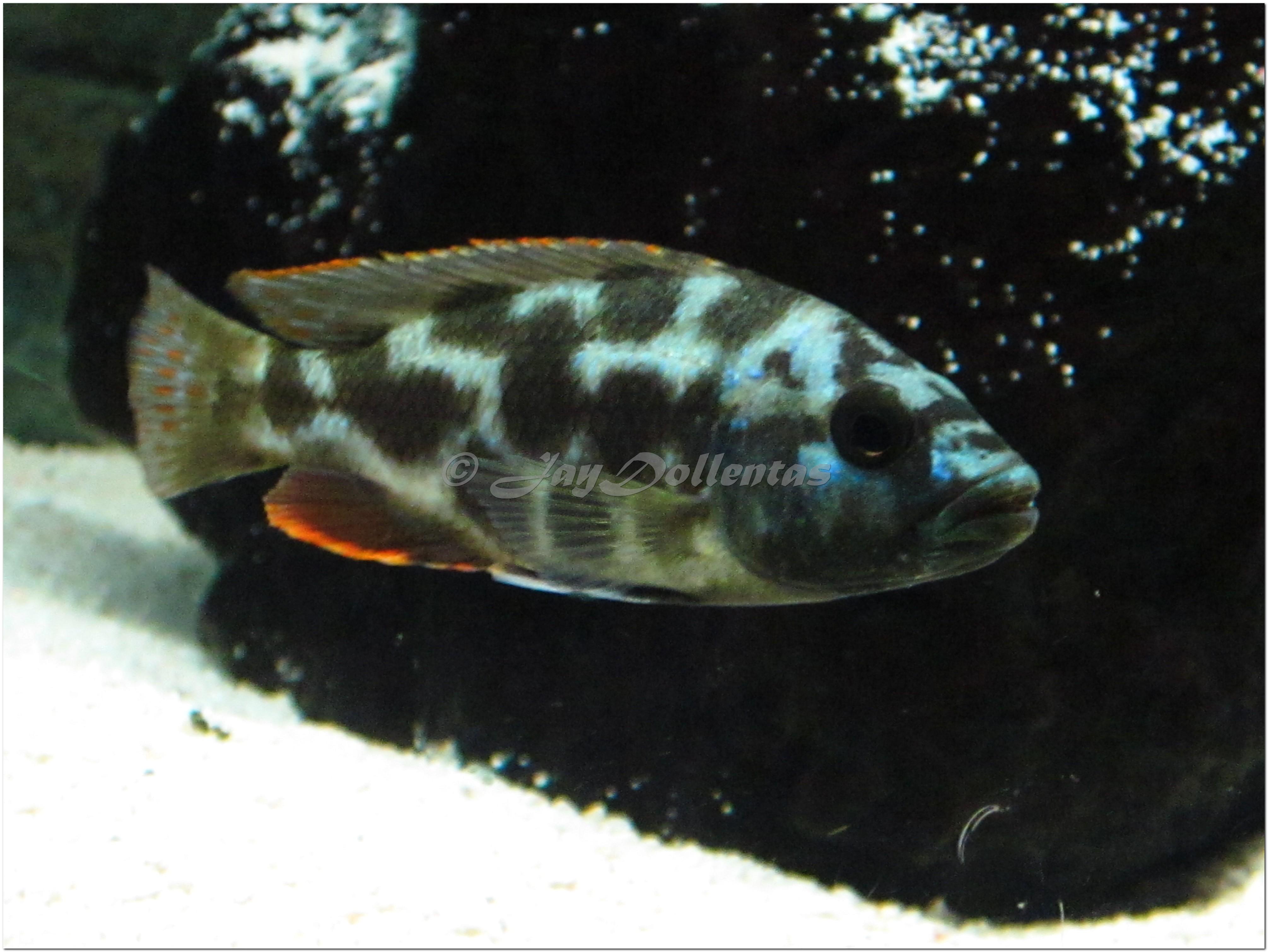 cichlids.com: Nimbochromis Livingstonii