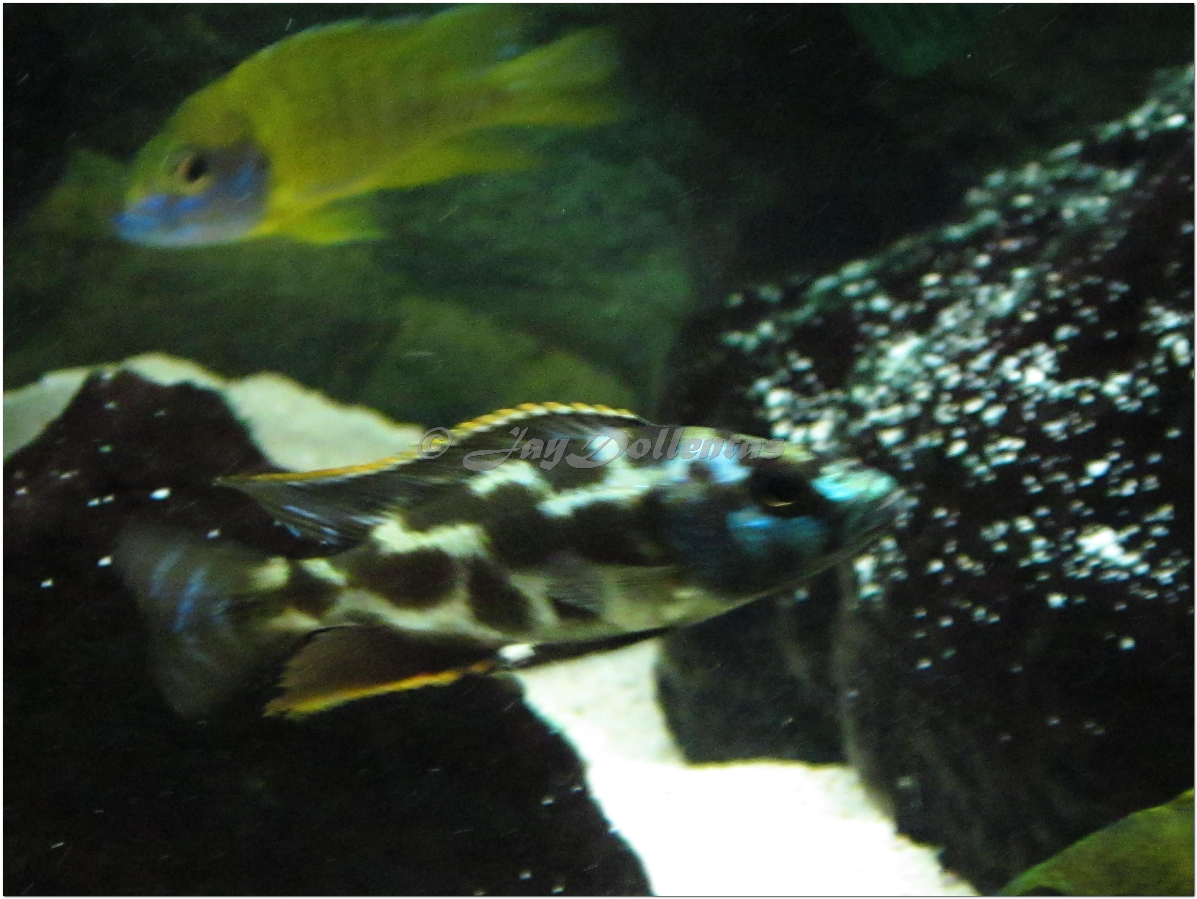 cichlids.com: Nimbochromis livingstonii juvy