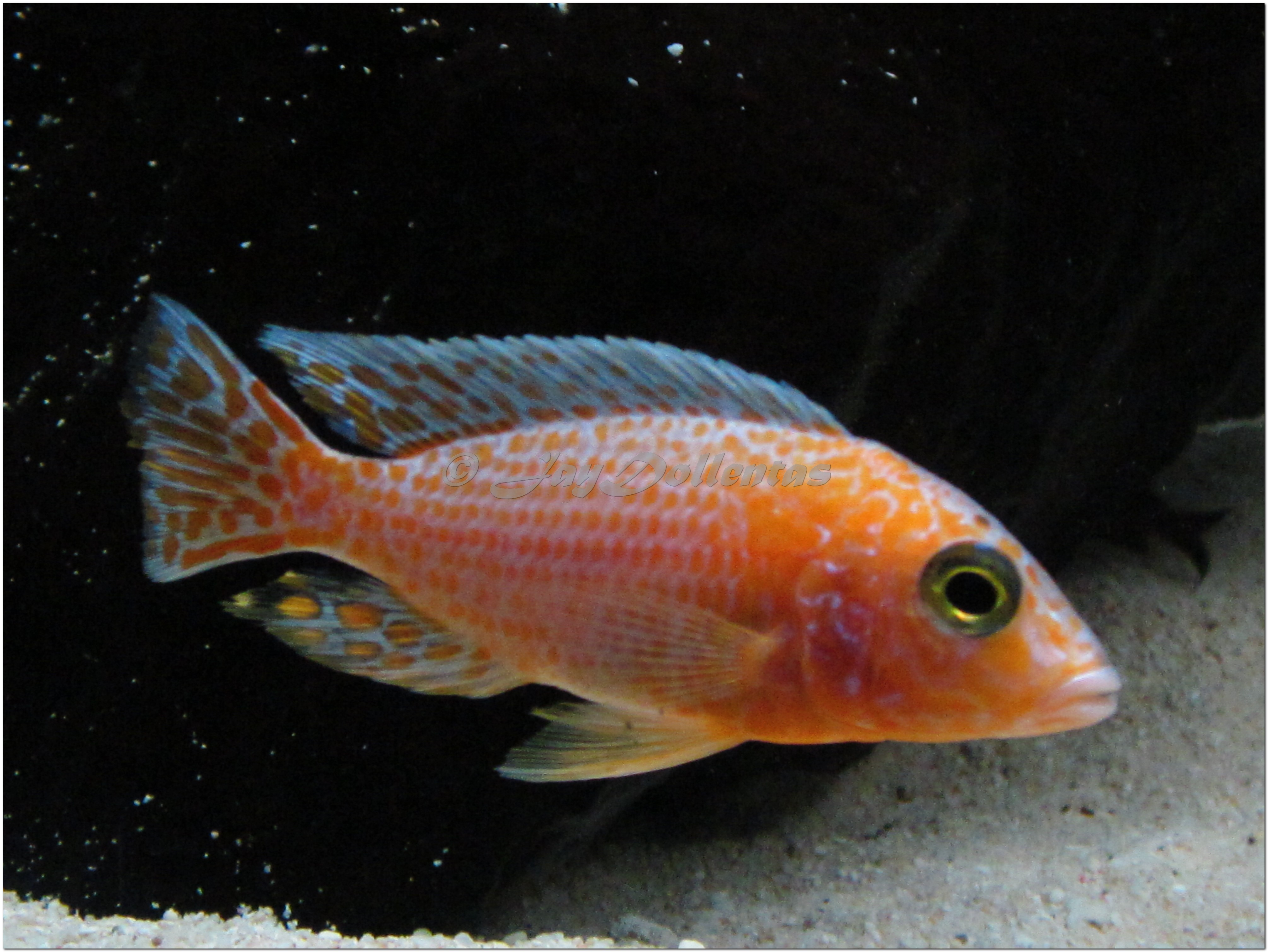 cichlids.com: Strawberry peacock