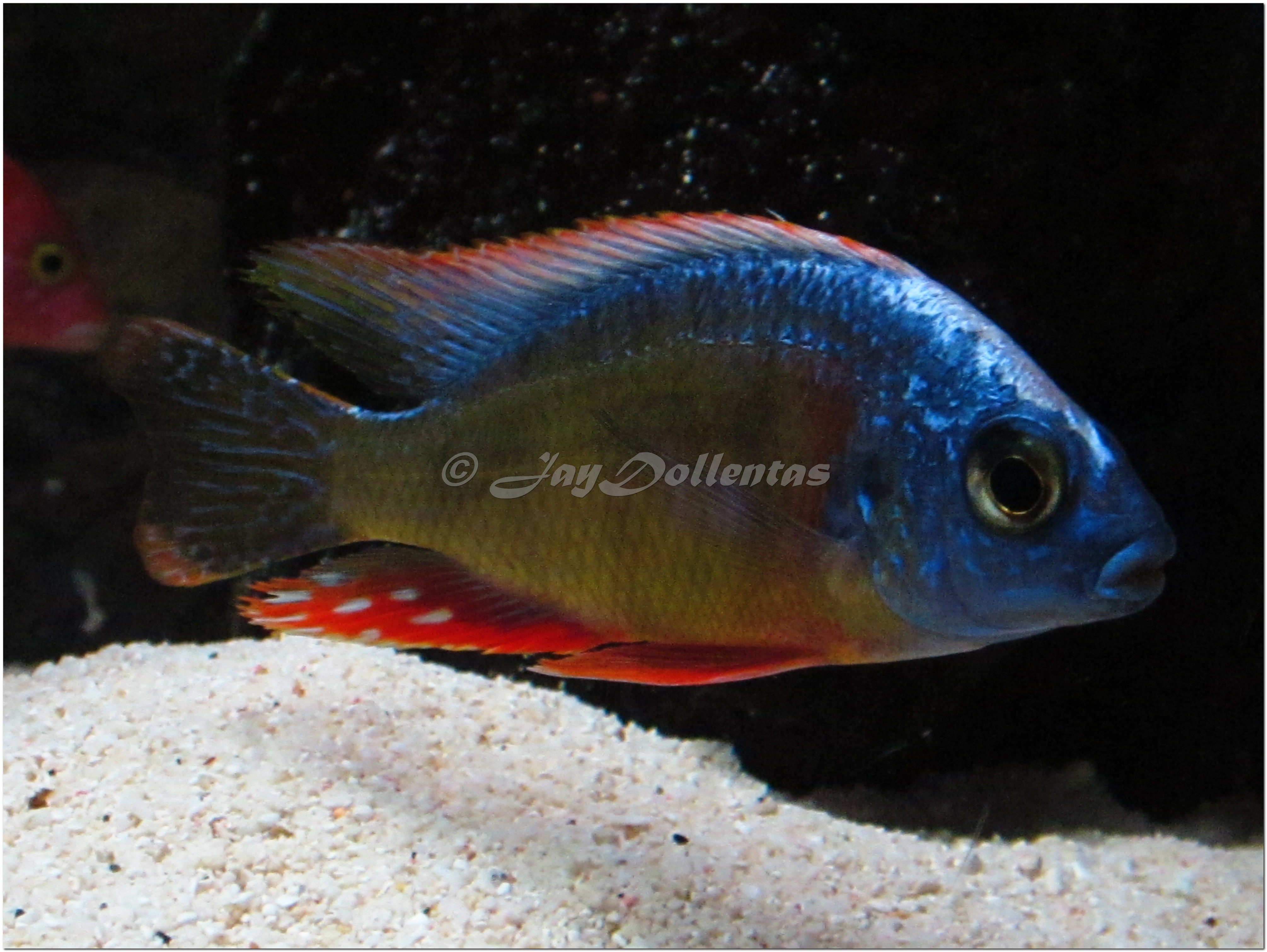 Taiwan reef peacock cichlids for Live fish direct
