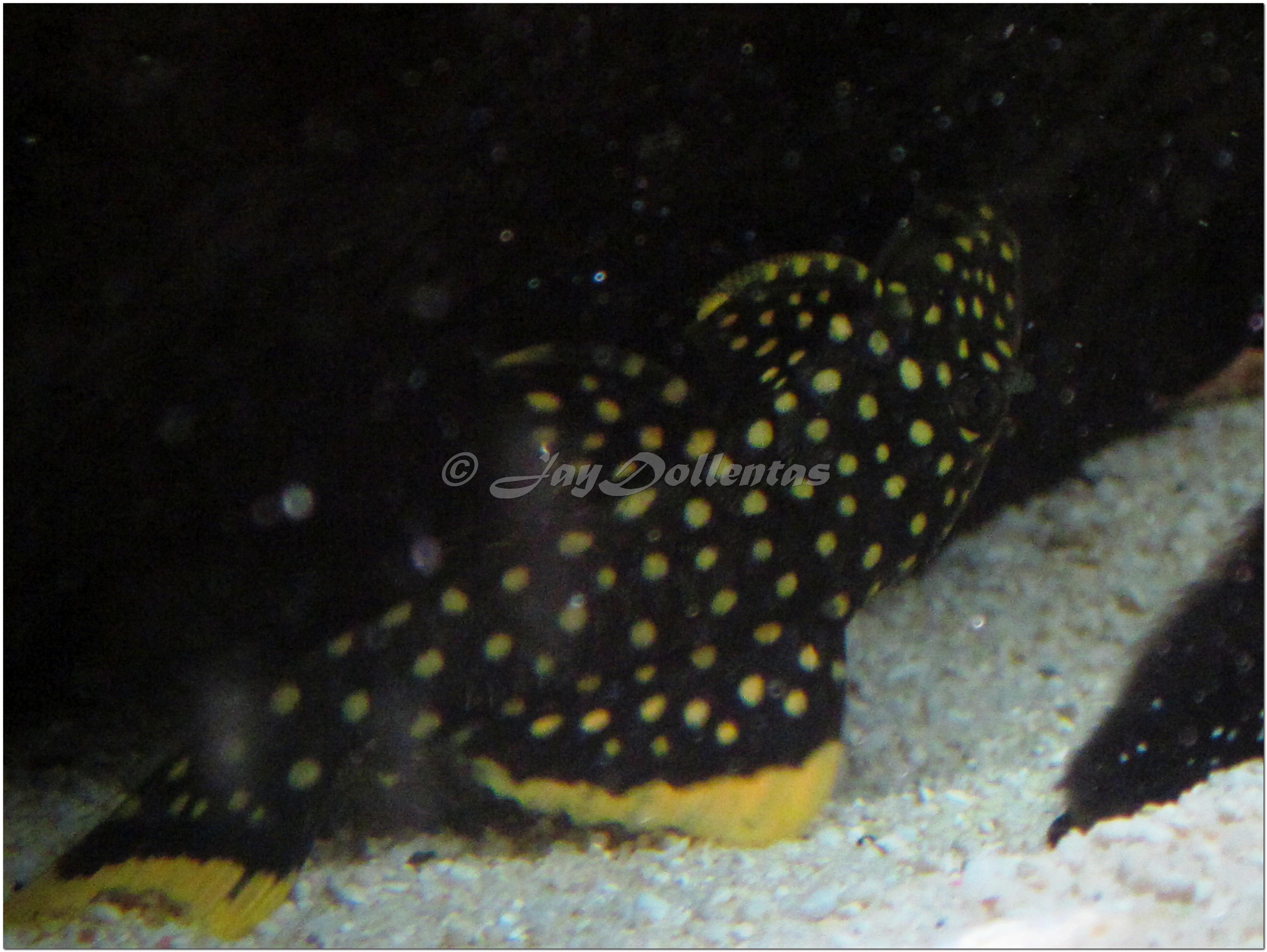 cichlids.com: new Gold Nugget Pleco (Baryancistrus sp L177)