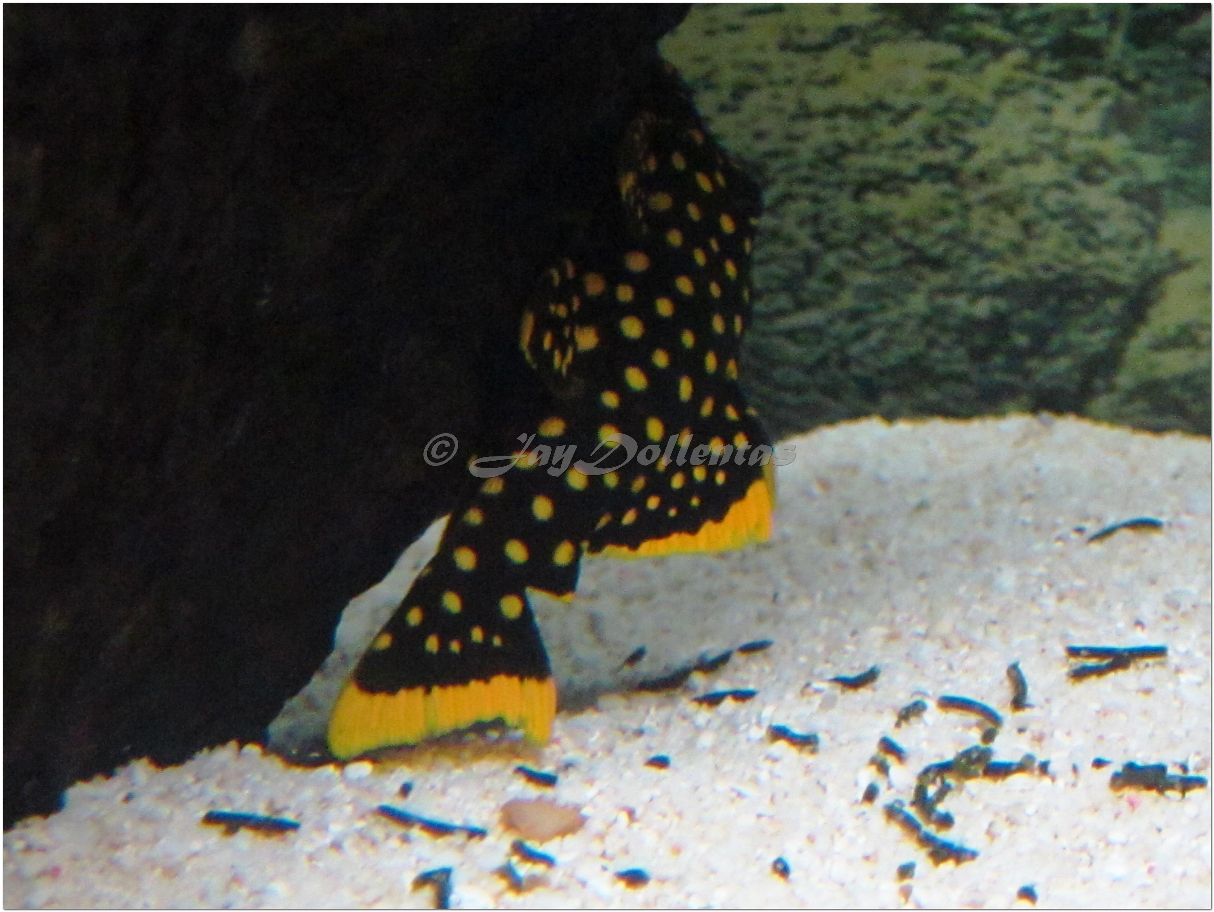 cichlids.com: L177 Gold Nugget Pleco