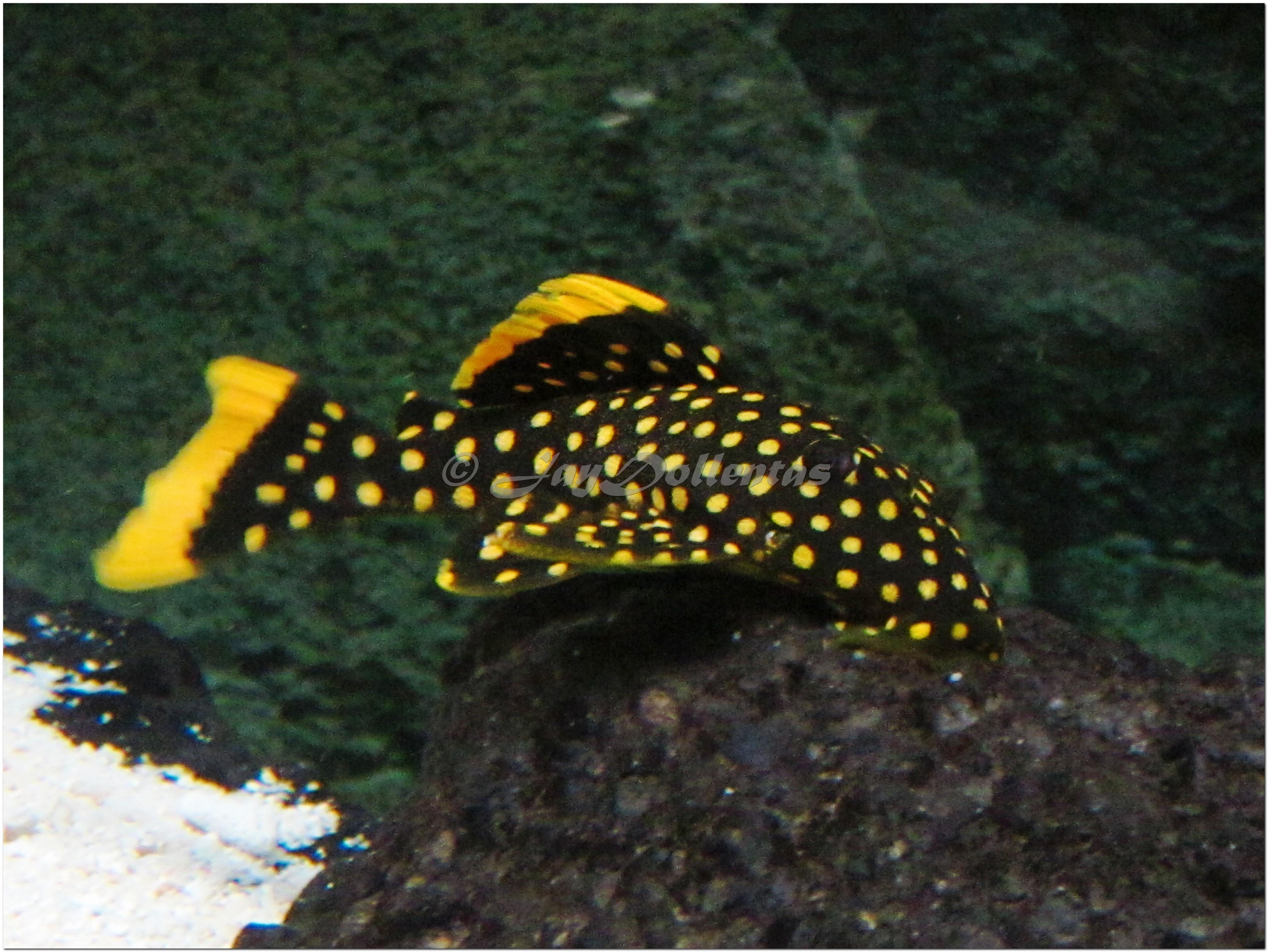 cichlids.com: Gold Nugget Pleco L177
