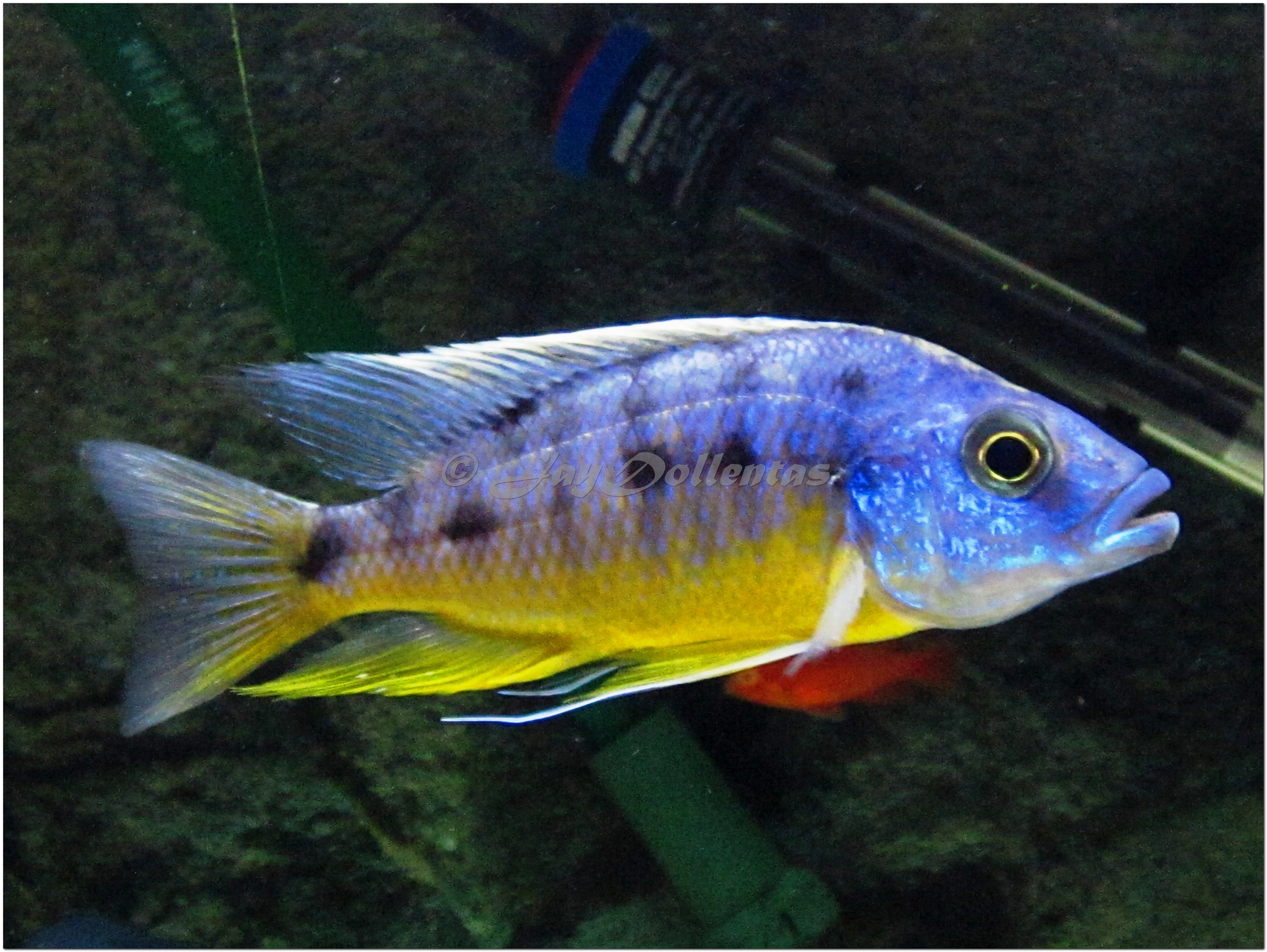Protomelas sp Spilonotus Tanzania Protomelas sp Quot Spilonotus