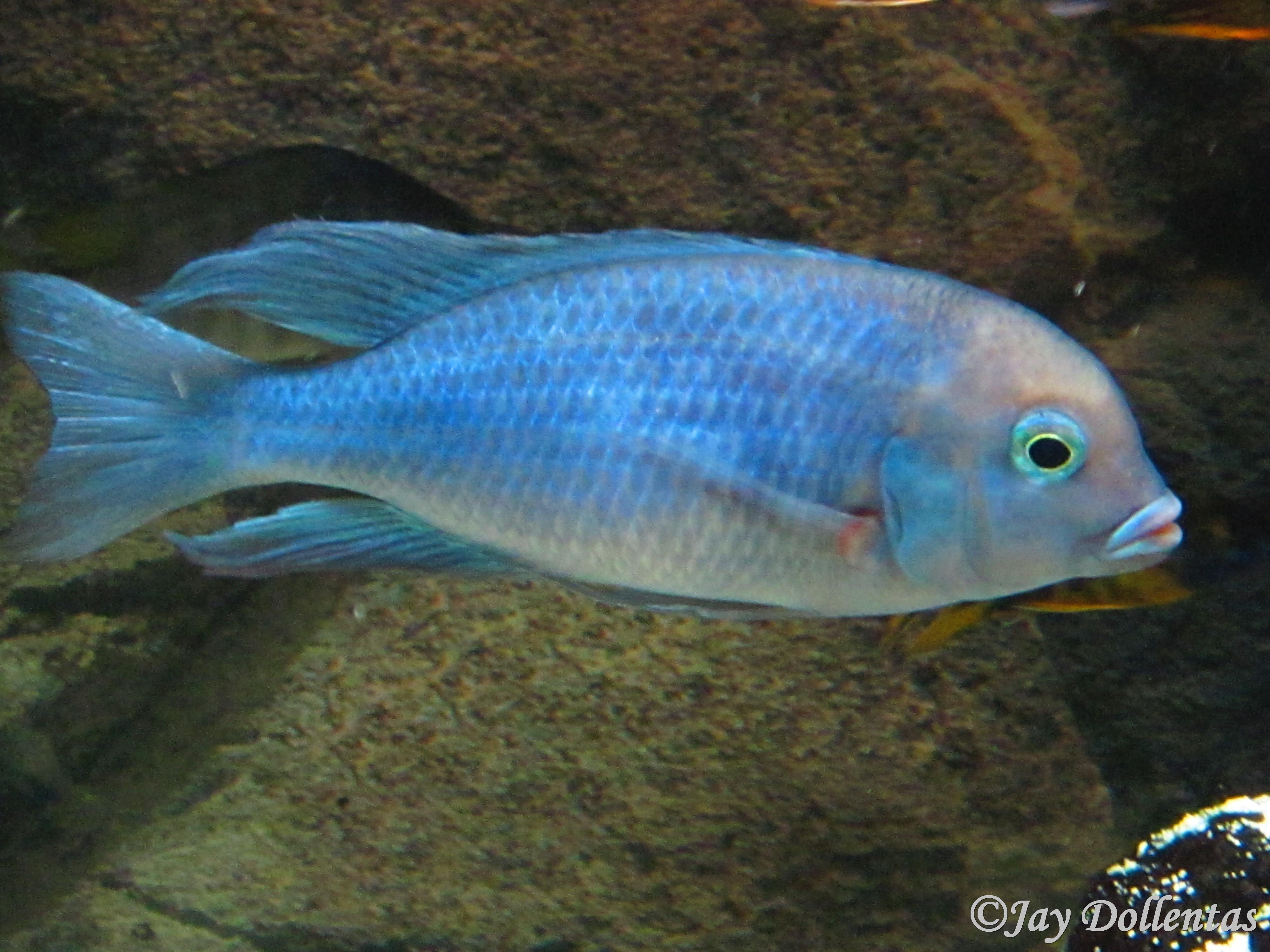 Blue Dolphin Cichlid  : Blue+Dolphin+Cichlid+For+Sale Blue Dolphin