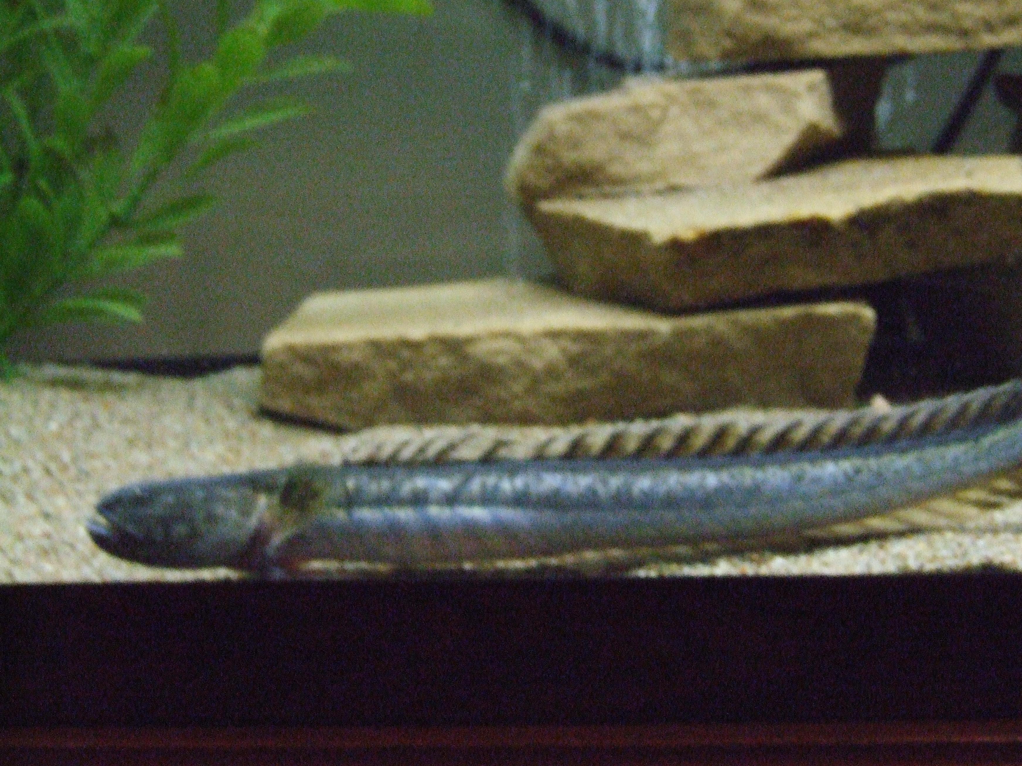 Dragonfish freshwater raised for Freshwater dragon fish