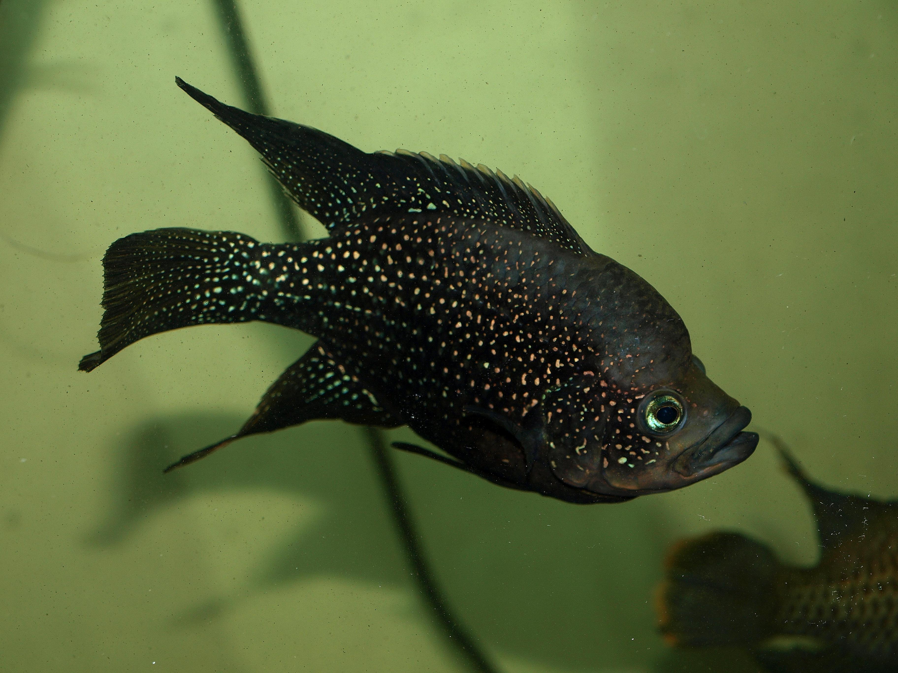 cichlids.com: Polleni