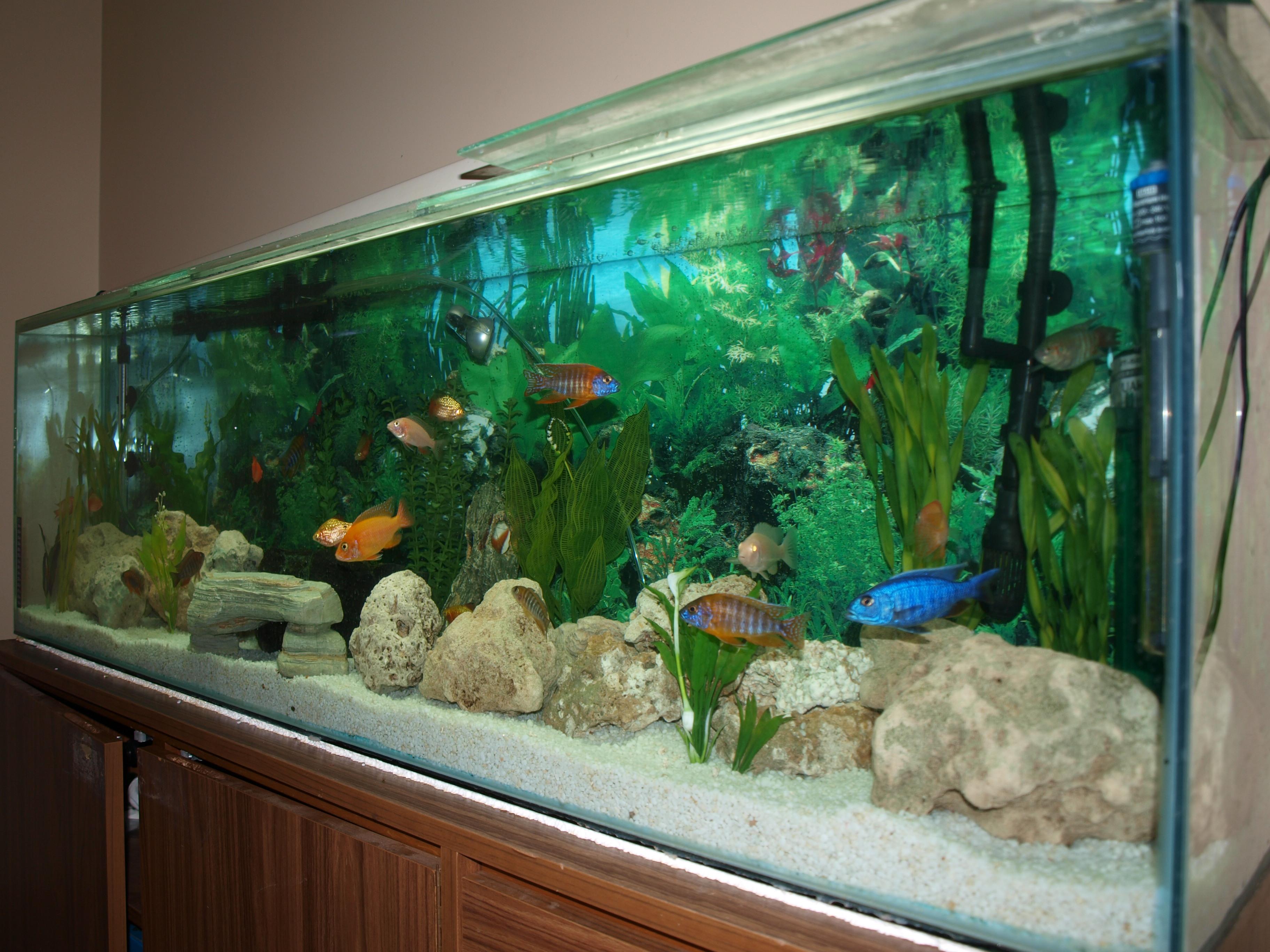 Tank examples peacock hap tank for Arowana fish tank decoration