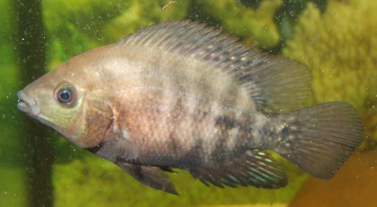 cichlids.com: Baby Flowerhorn