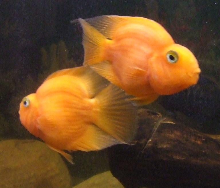 Blood parrots for Blood parrot fish