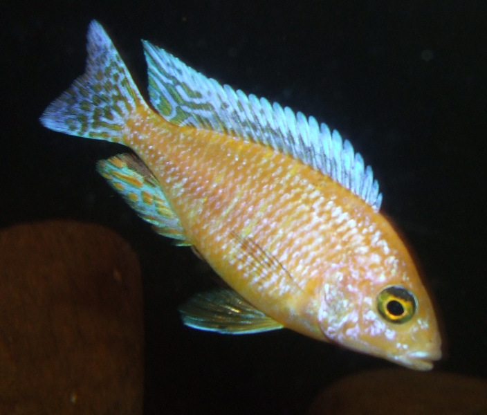 cichlids.com: Strawberry Peacock male