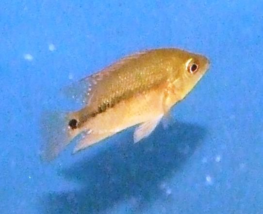 cichlids.com: Flowerhorn baby