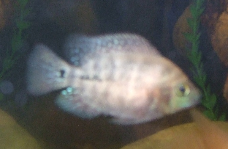 cichlids.com: Baby RQ Flowerhorn starting to color