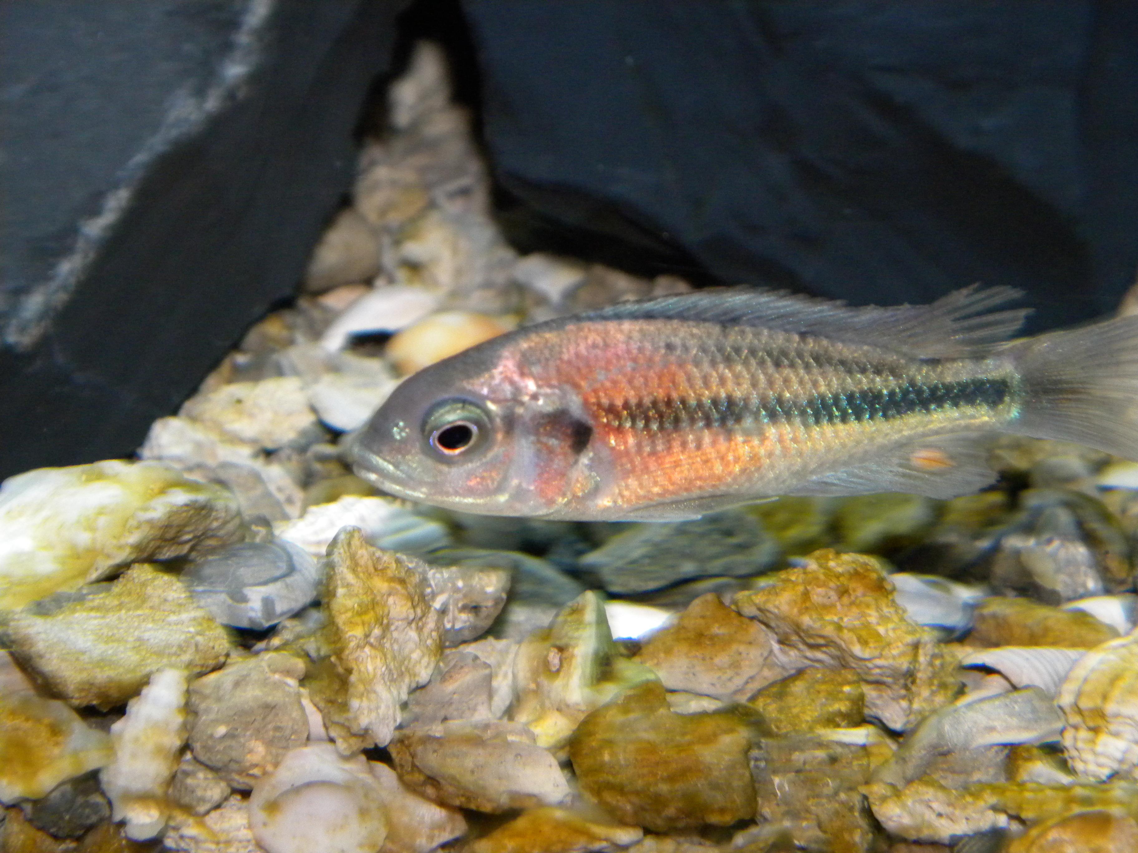 cichlids.com: hippo point salmon