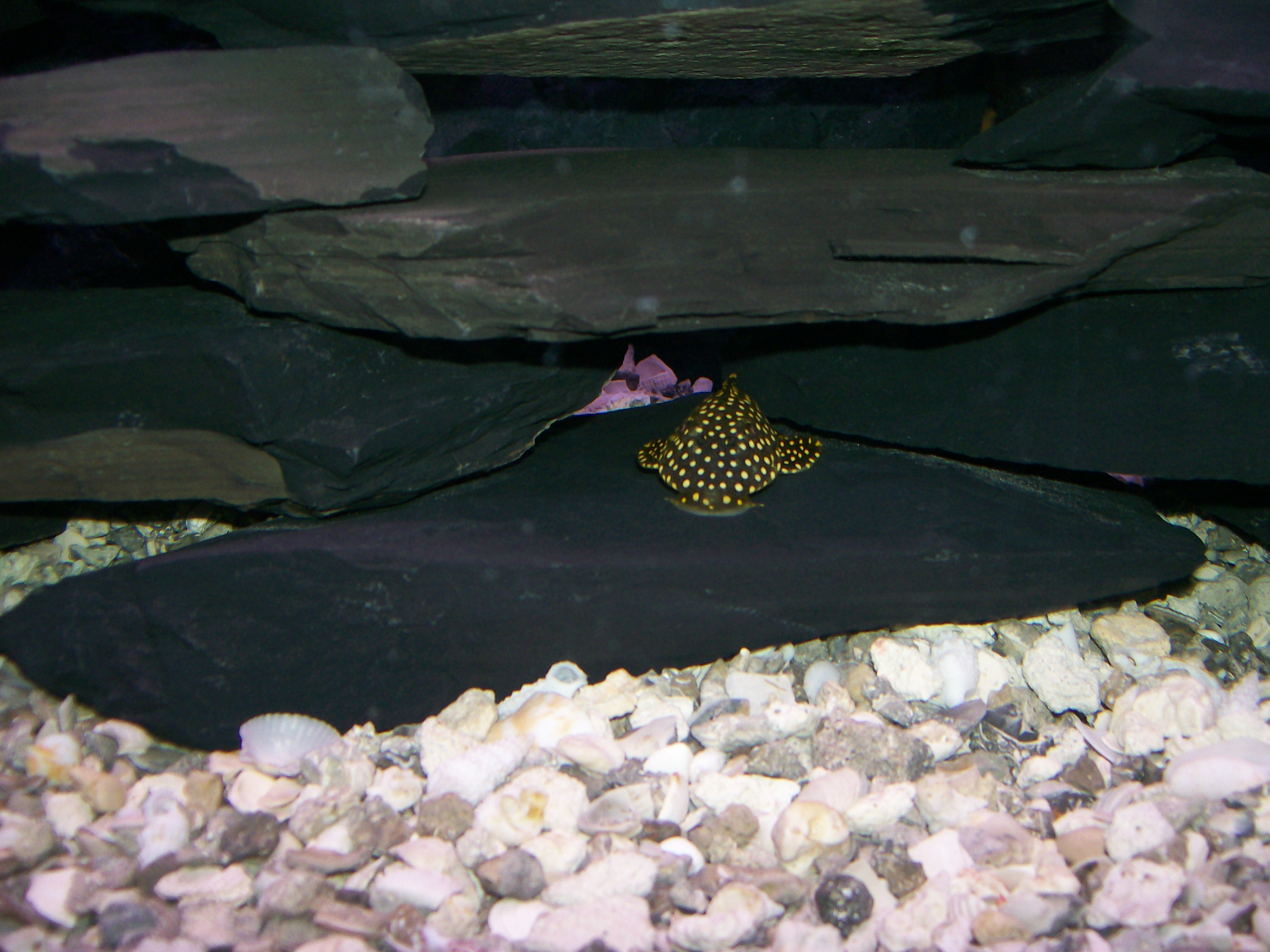cichlids.com: gold nugget pleco