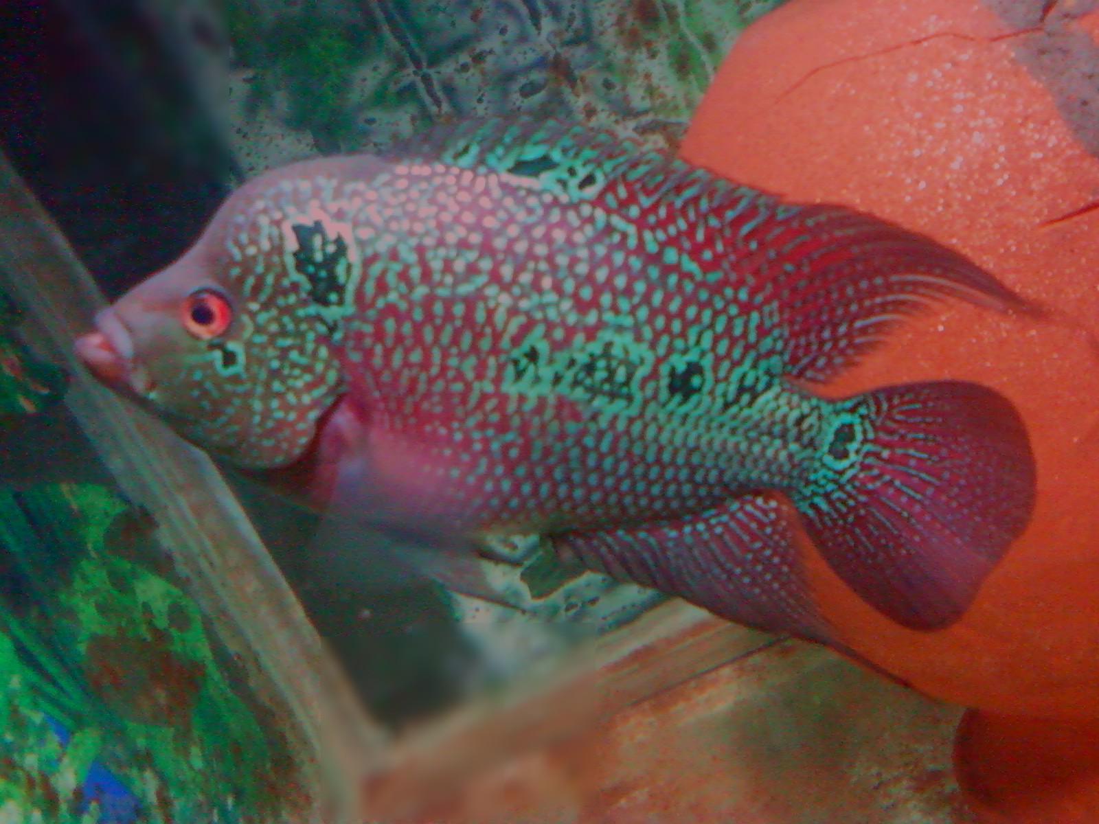 cichlids My flowerhorn under Aquarium flurosent lite