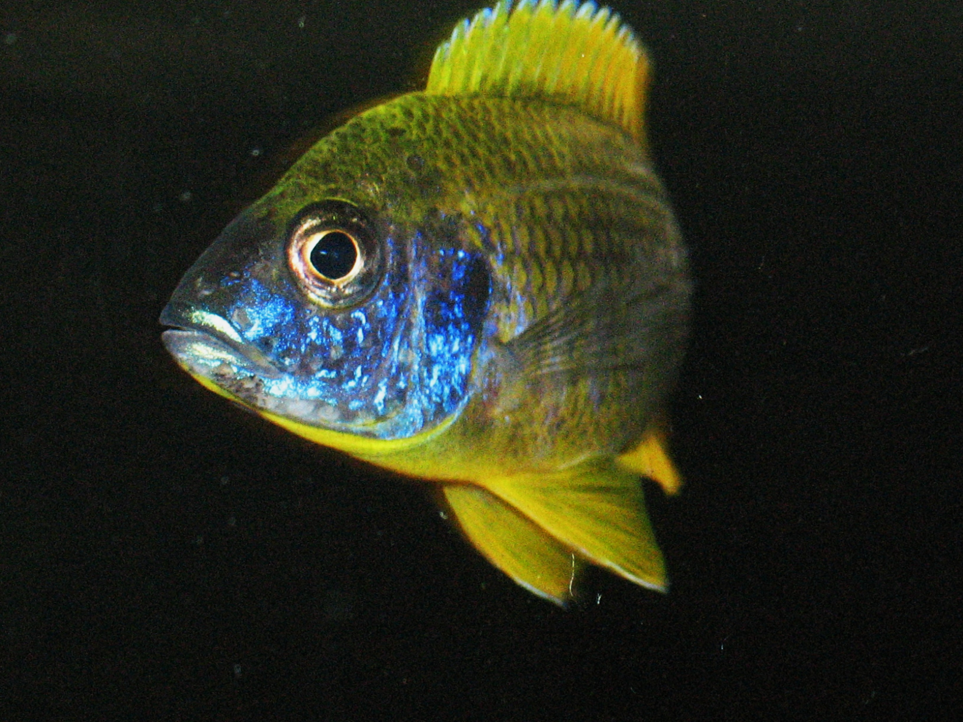 lemon jake peacock cichlid - photo #26