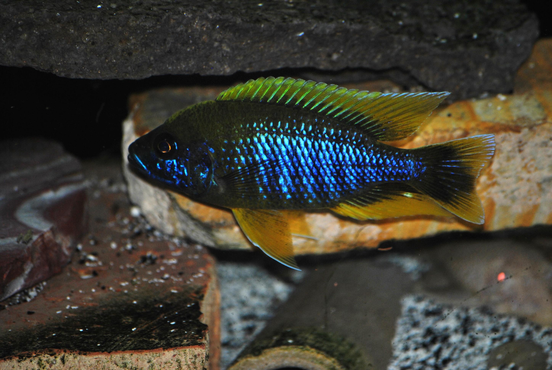 lemon jake peacock cichlid - photo #42