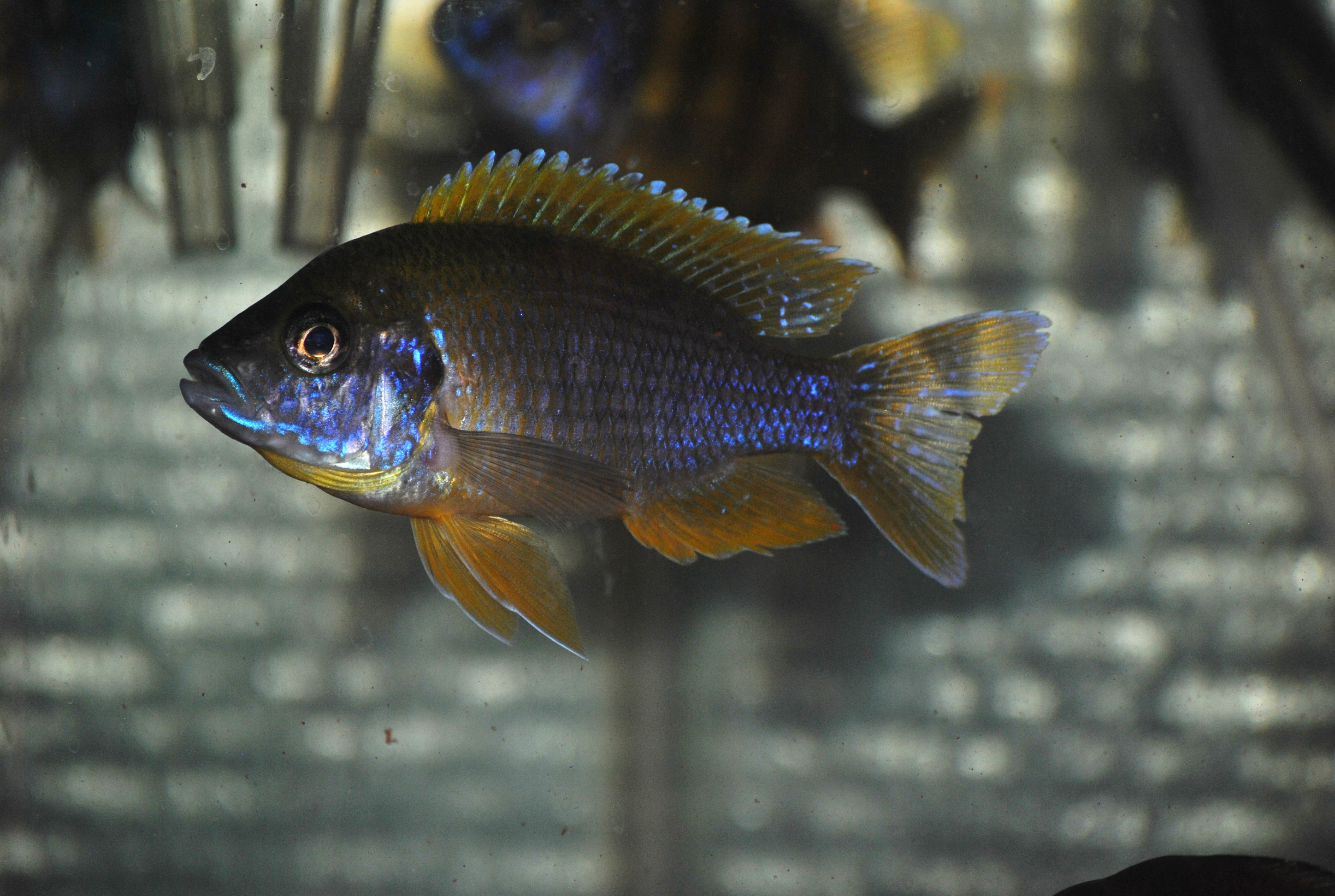 lemon jake peacock cichlid - photo #37