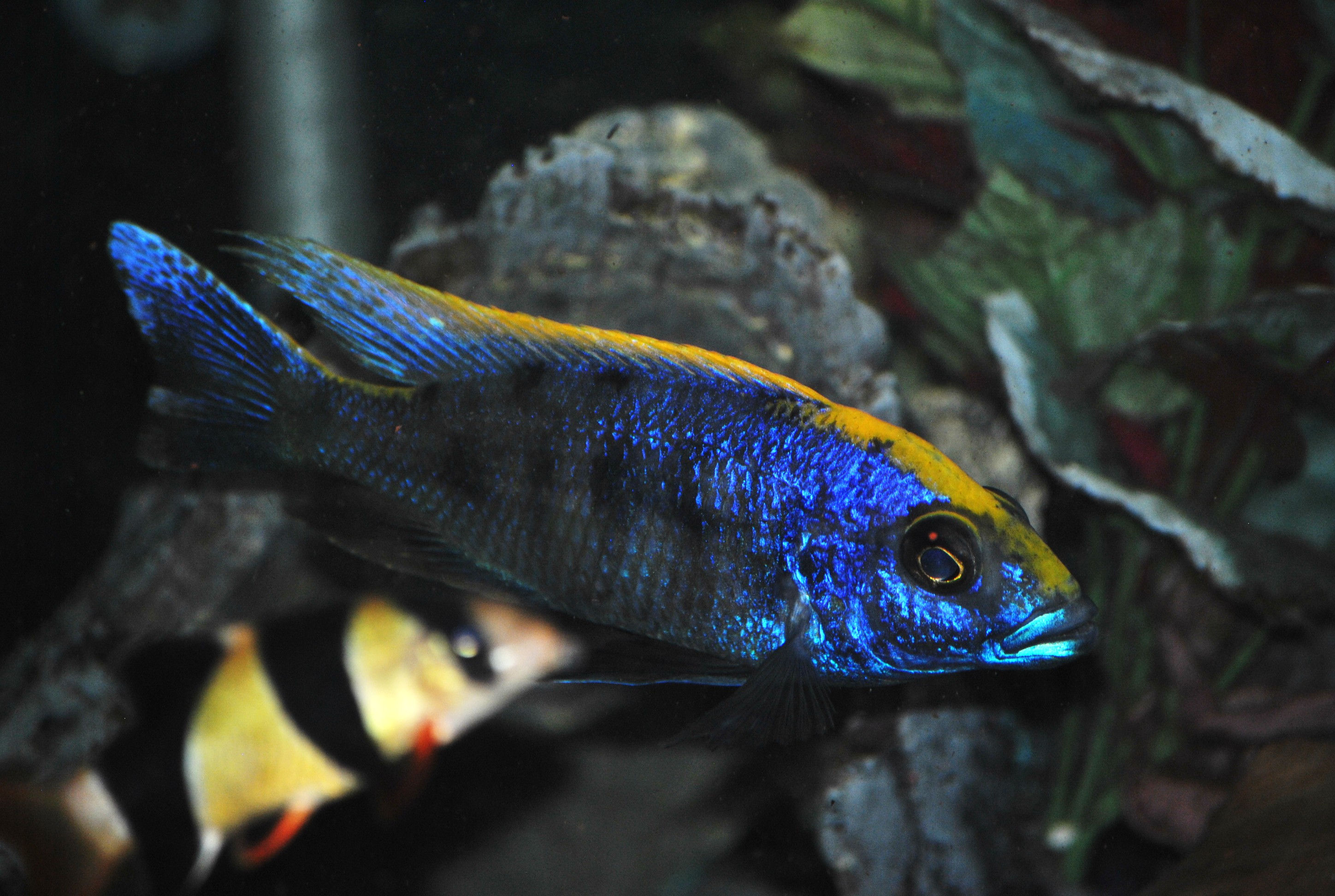 Cichlid stones quotes for African cichlid rock decoration