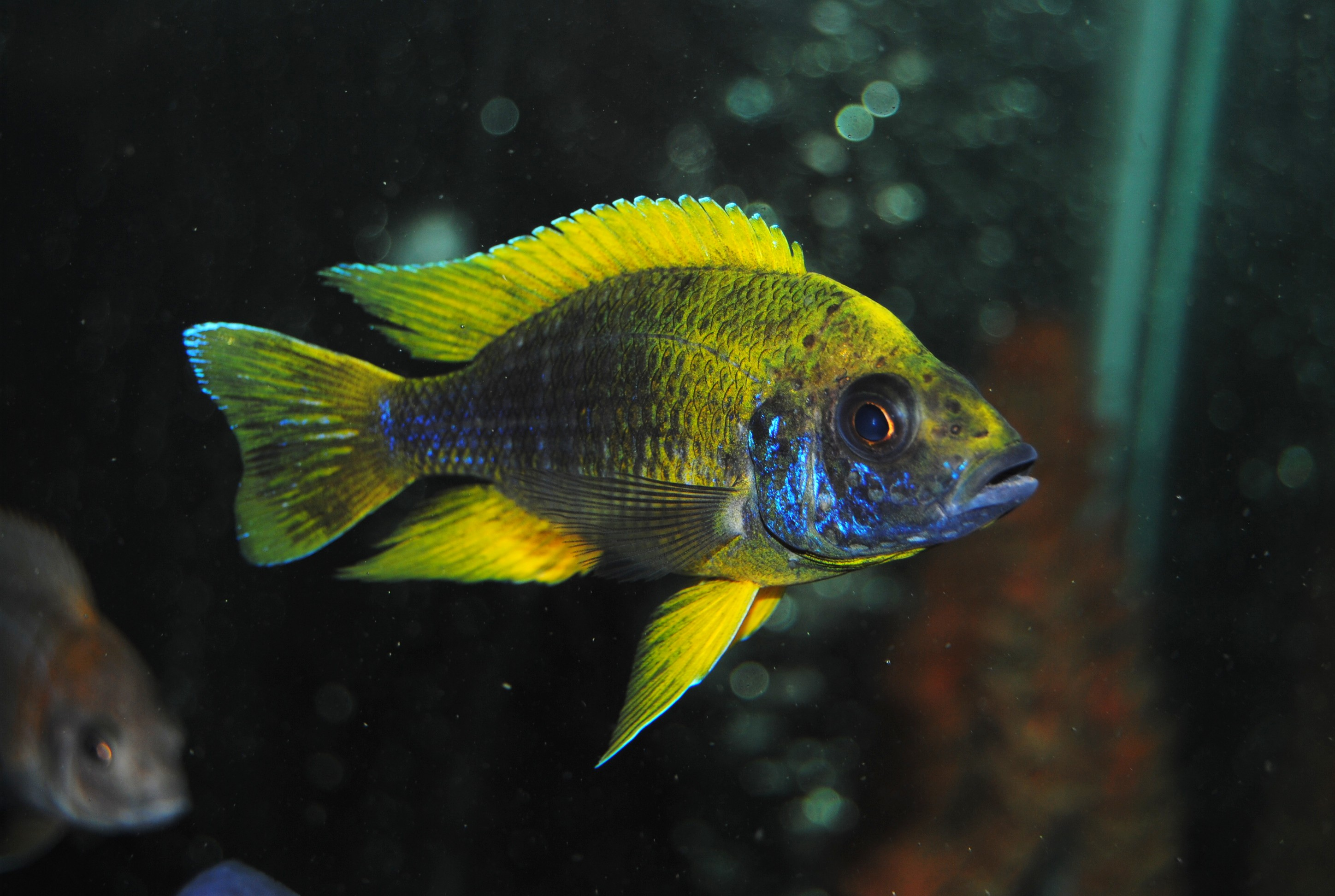lemon jake peacock cichlid - photo #7