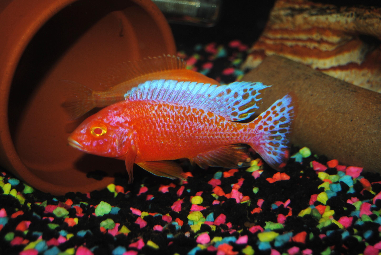 Ruby red cichlid female - photo#16