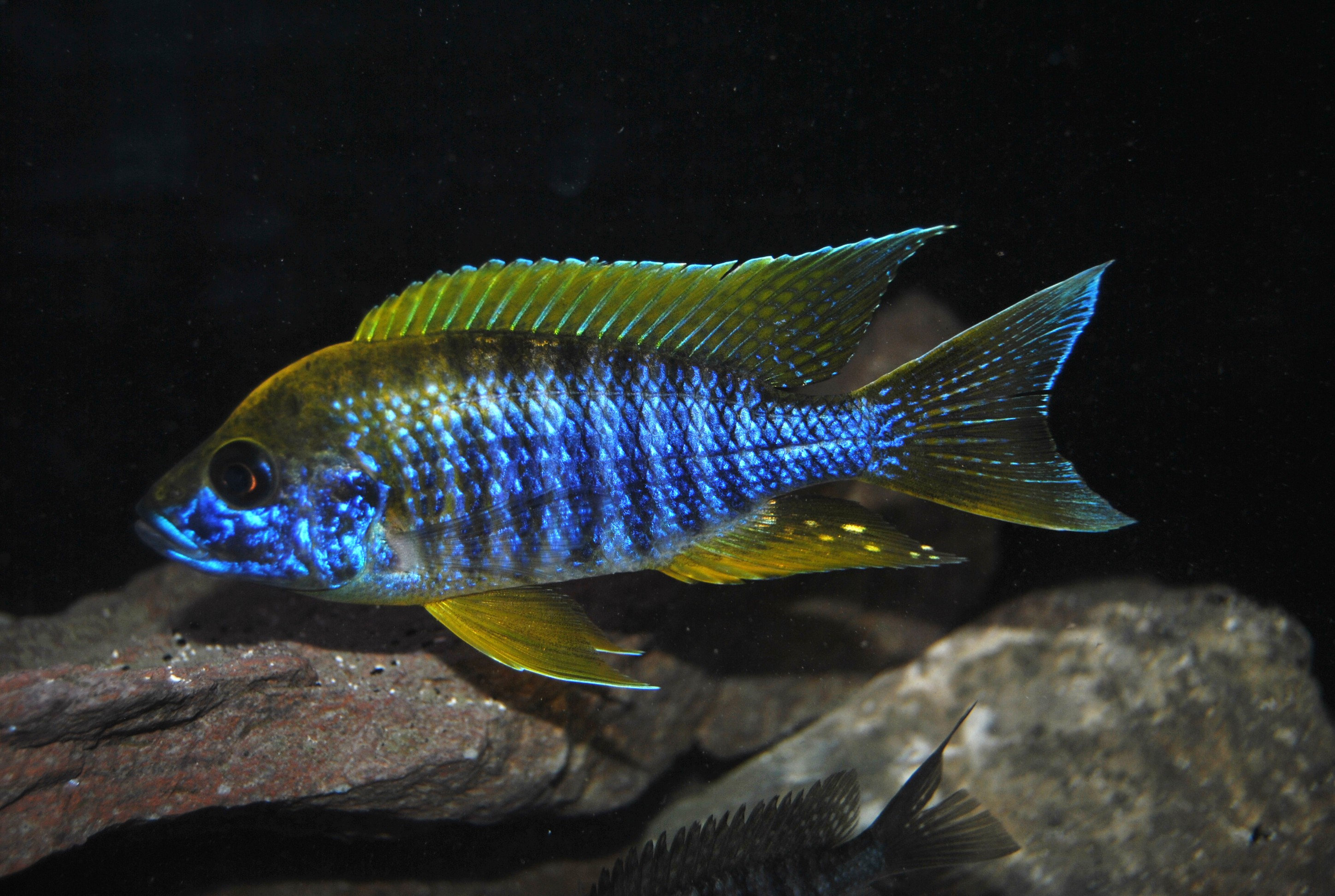 lemon jake peacock cichlid - photo #16