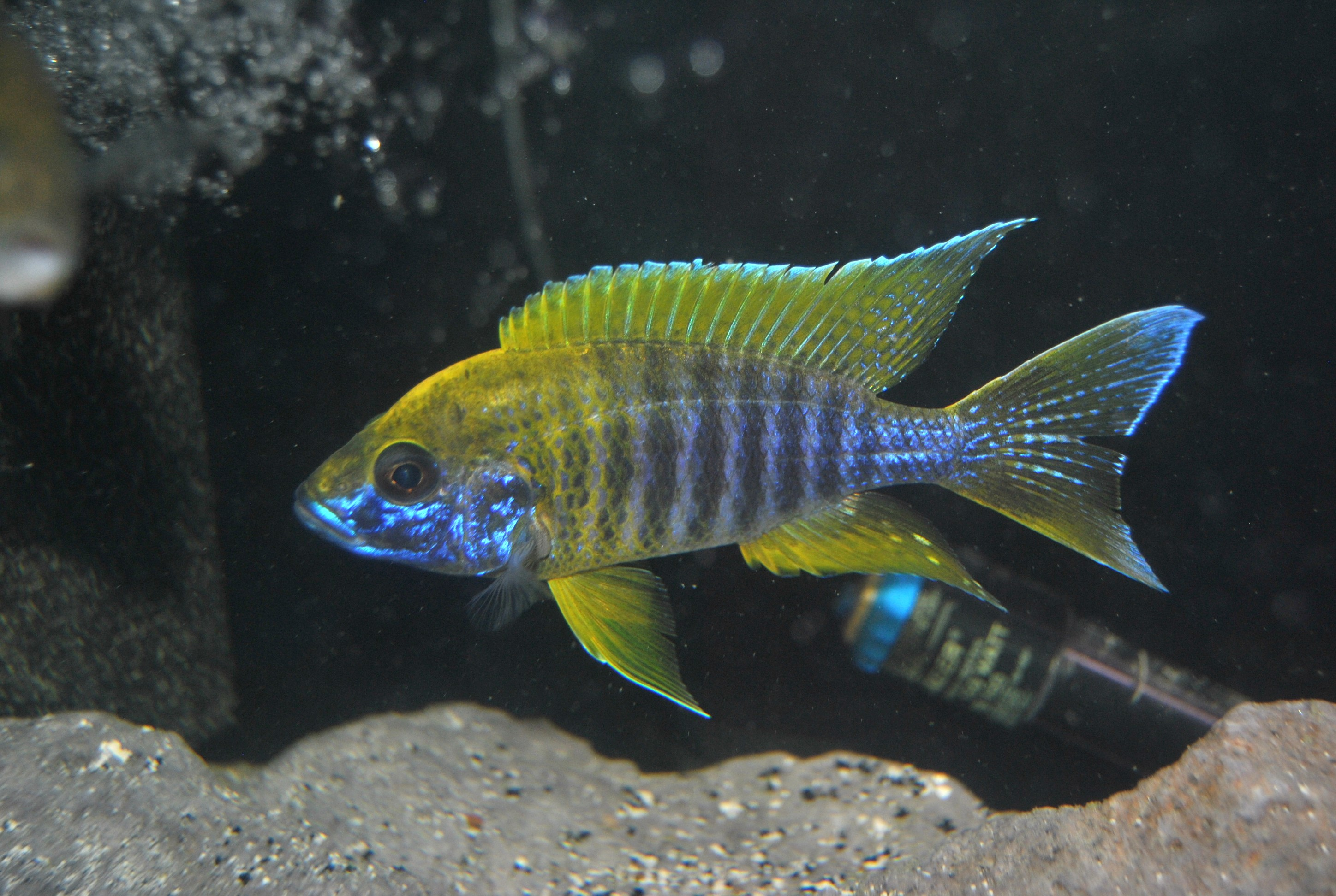 lemon jake peacock cichlid - photo #9
