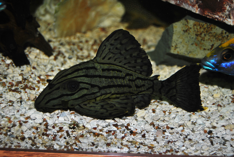 cichlids.com: Royal Pleco
